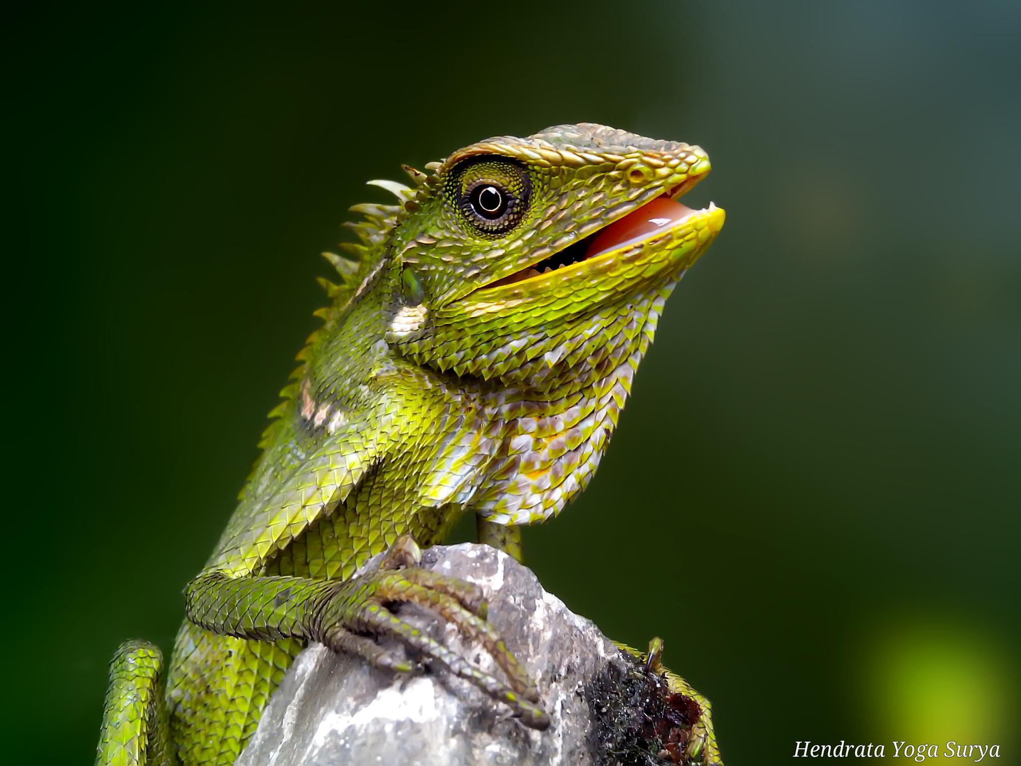 Photo in Animal #bunglon surai #londok #green crested lizard