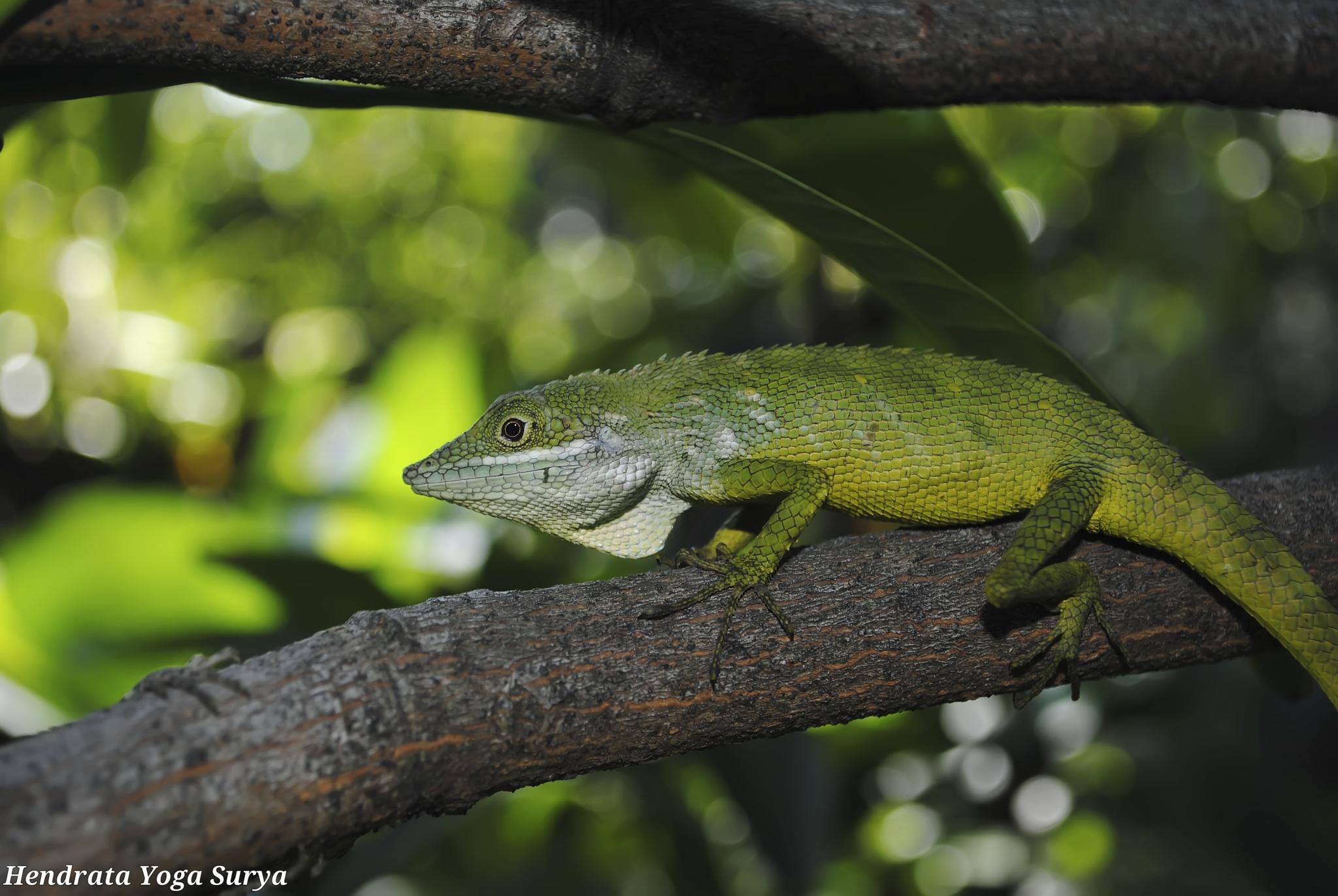 ranca upas Forest lizard by hendrata yoga surya