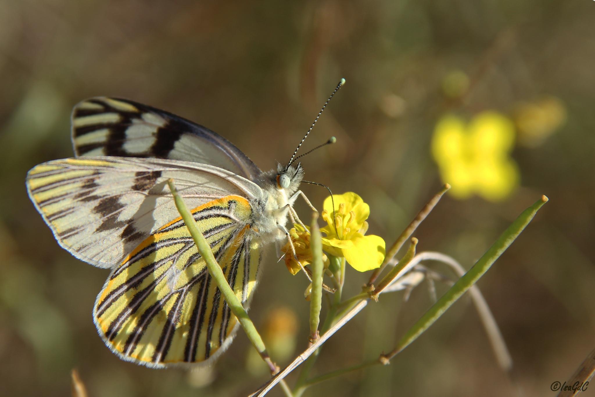 Nectar dorado by IsaGdC
