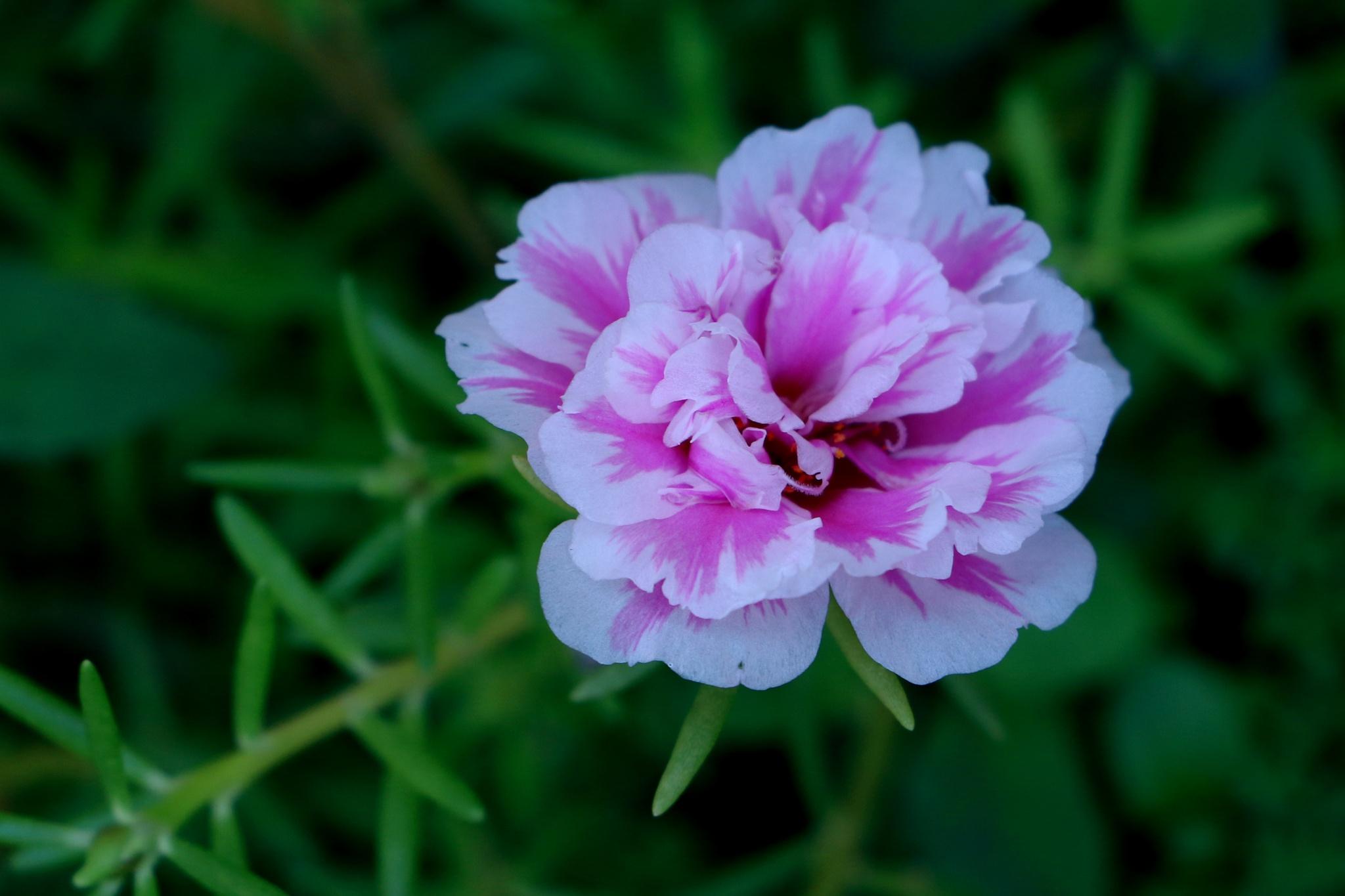 Portulaca grandiflora by donmjcmi25