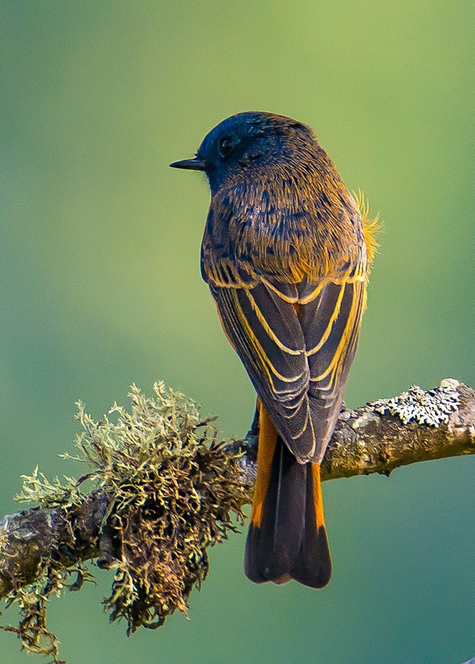 Id -Blue-fronted Redstart.... by Amar Vasudevan