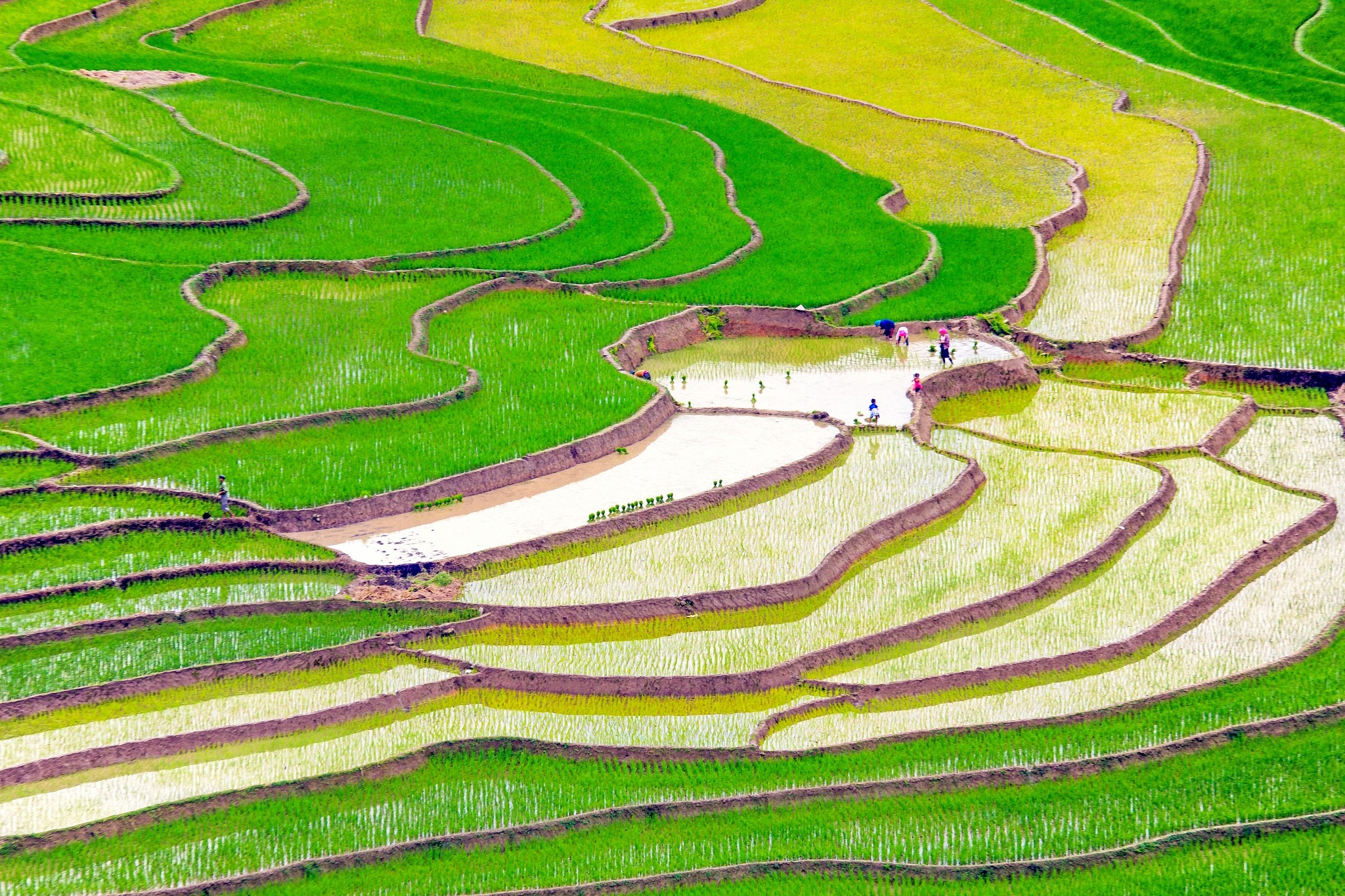 Rice planting by Long Ho