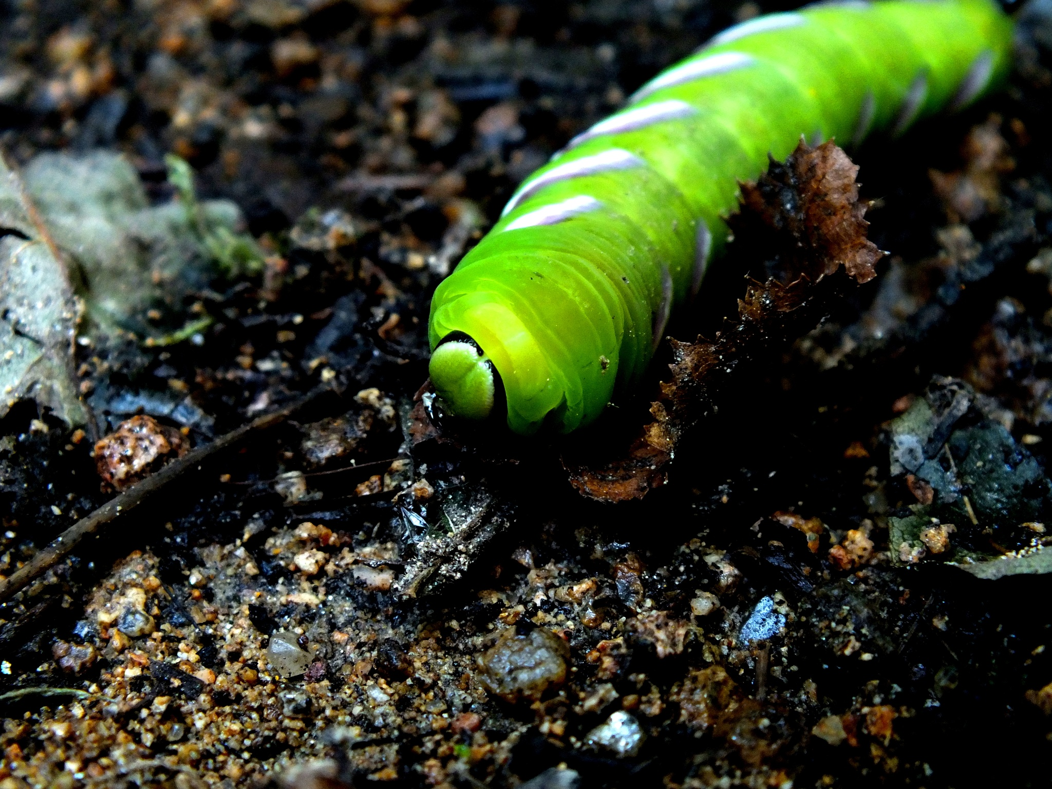 Pine Hawkmoth Caterpillar by Iceotty