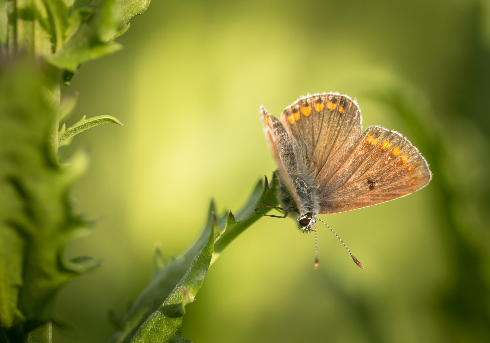 Butterfly by Anton Atanasov