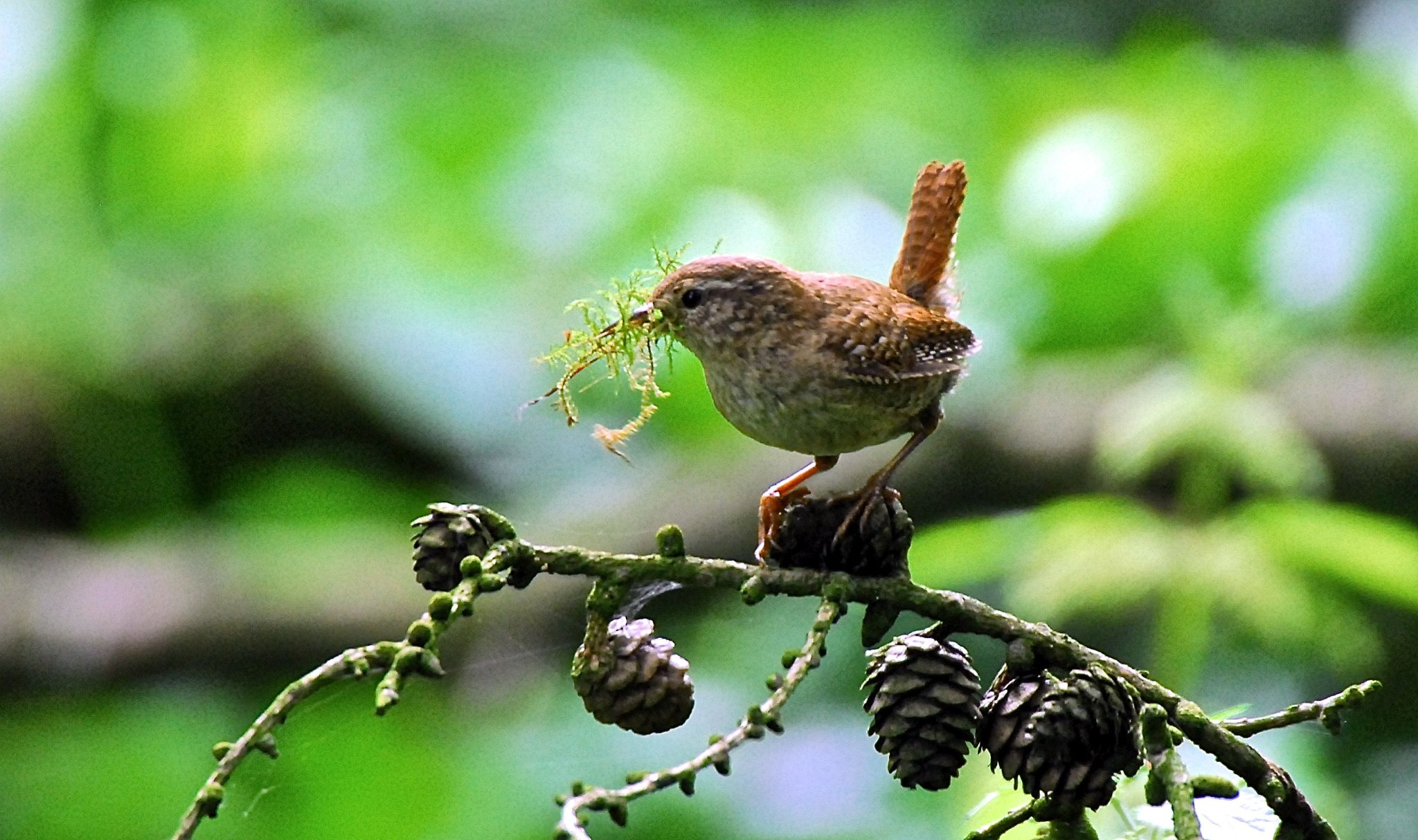 Nest building Wren. by gordon veitch