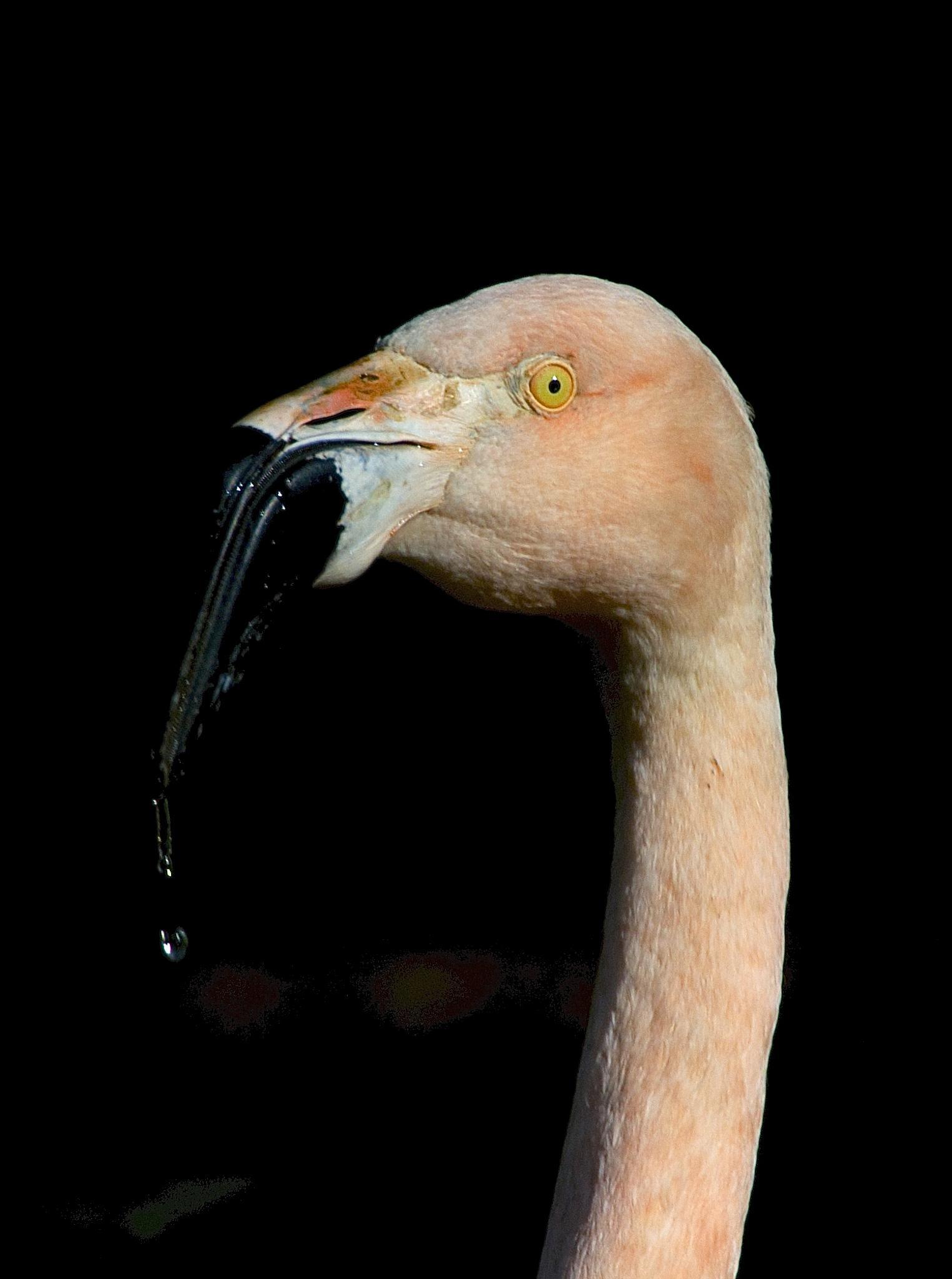 Drippy Flamingo by gordon veitch