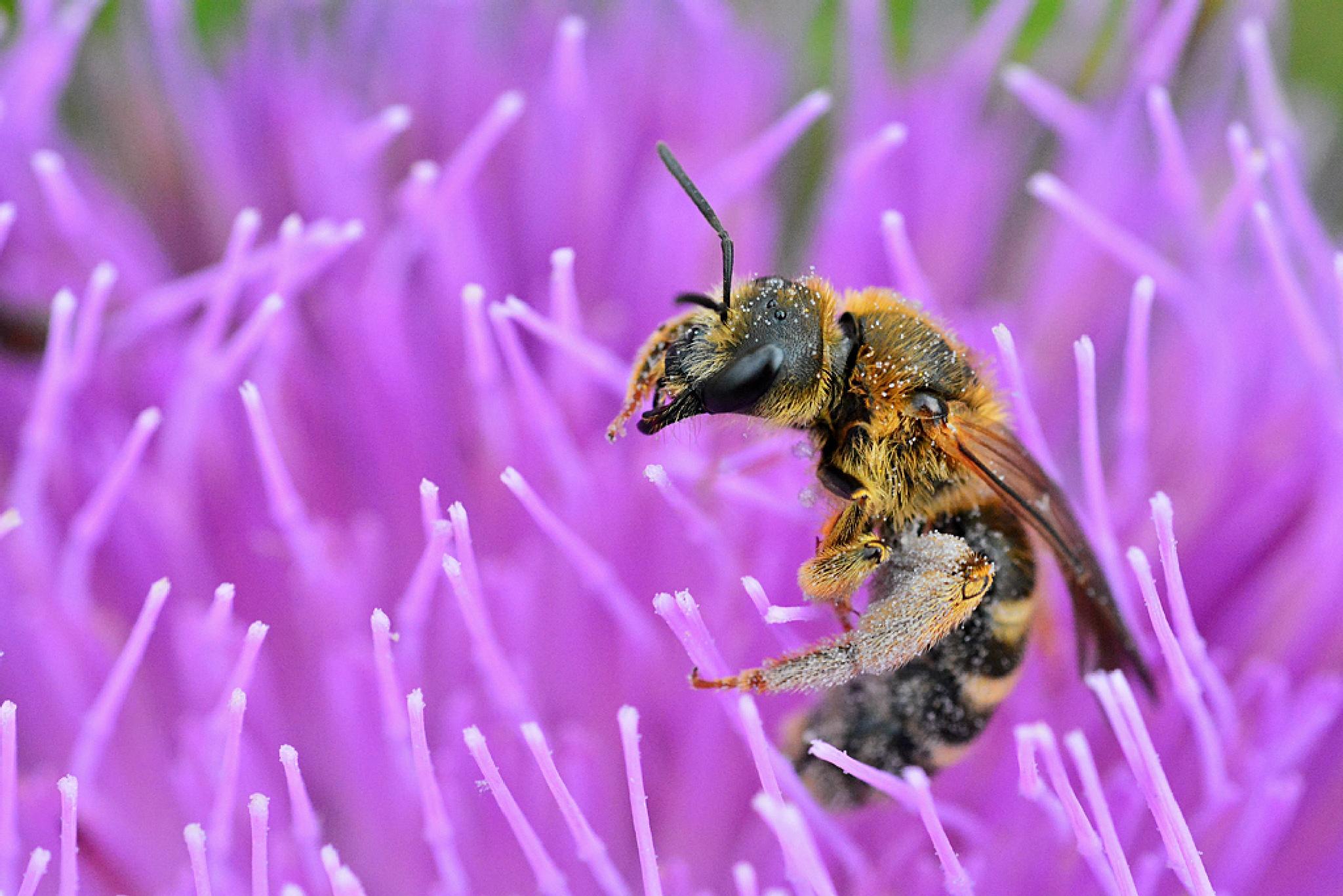 Bee on the milk thistle by Ümit Alper TÜMEN