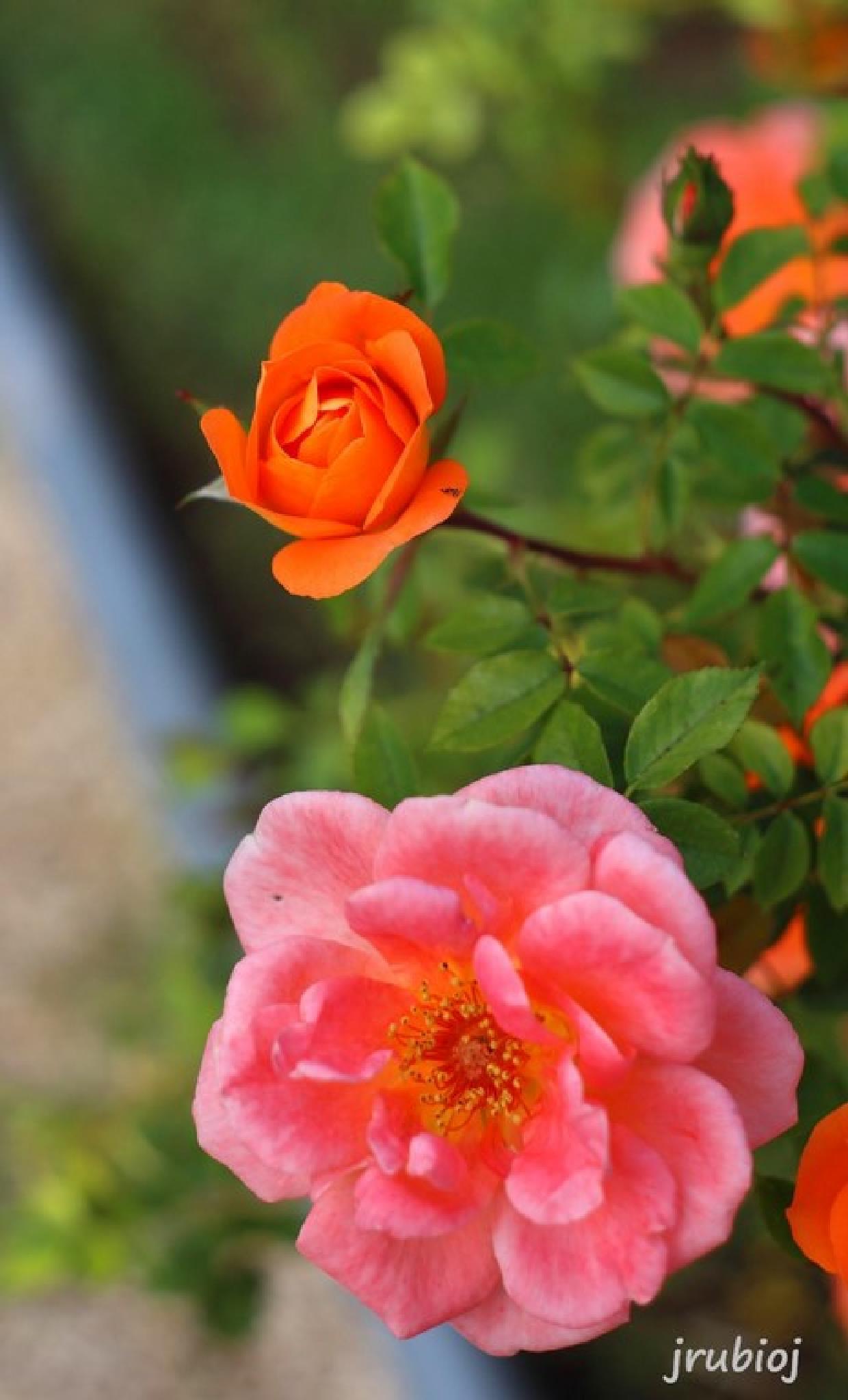 Rosas by julio rubio