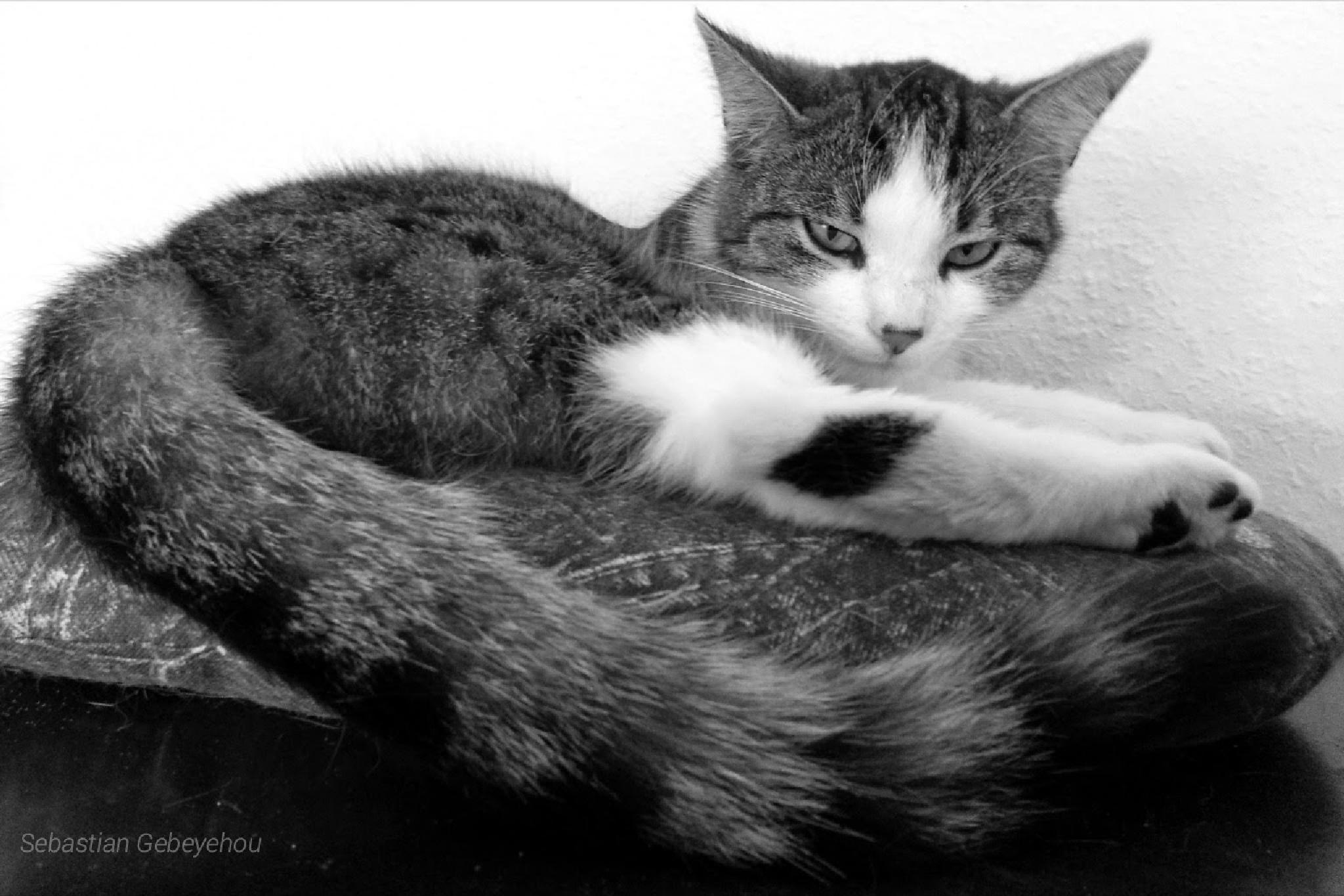 """lovely Cat """"Sophie"""" by Sebastian Gebeyehou"""