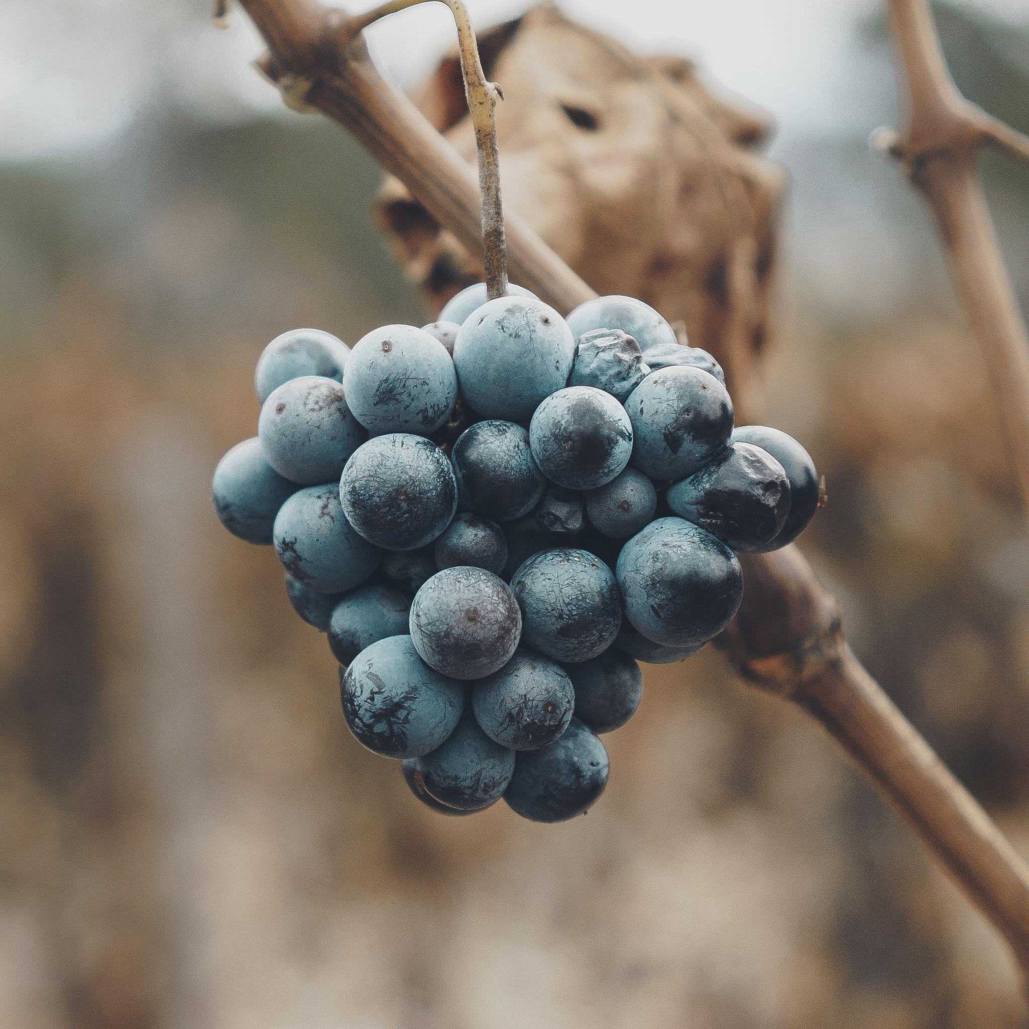 Vino by Joshua A. Hoffmann