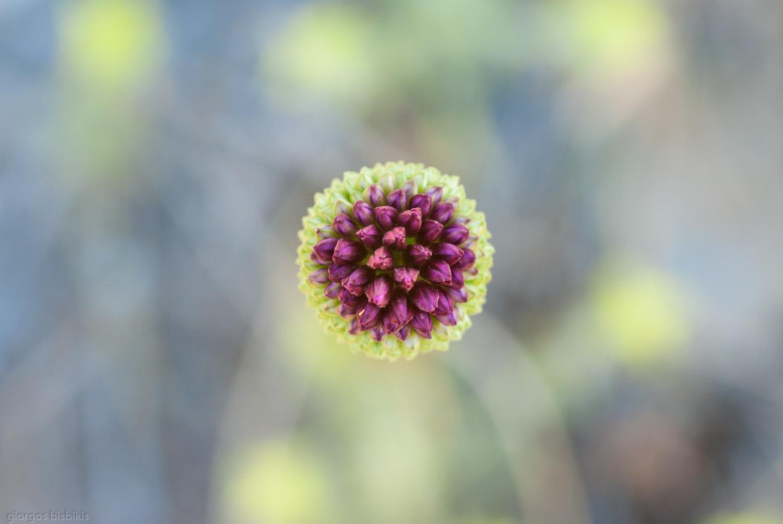 wild onion by bisbikisg