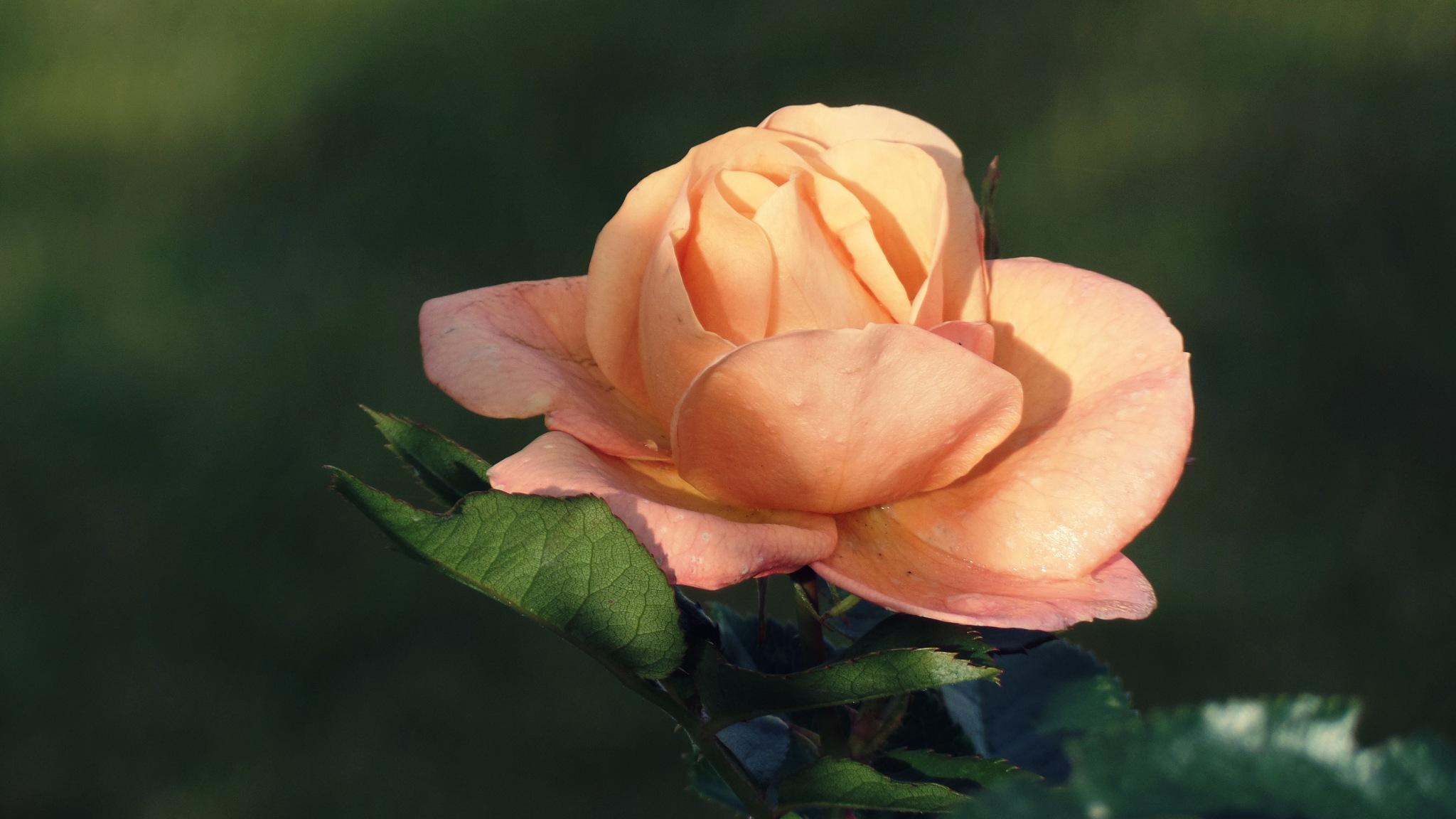 ...rose of 9 October 16... by  Jutta