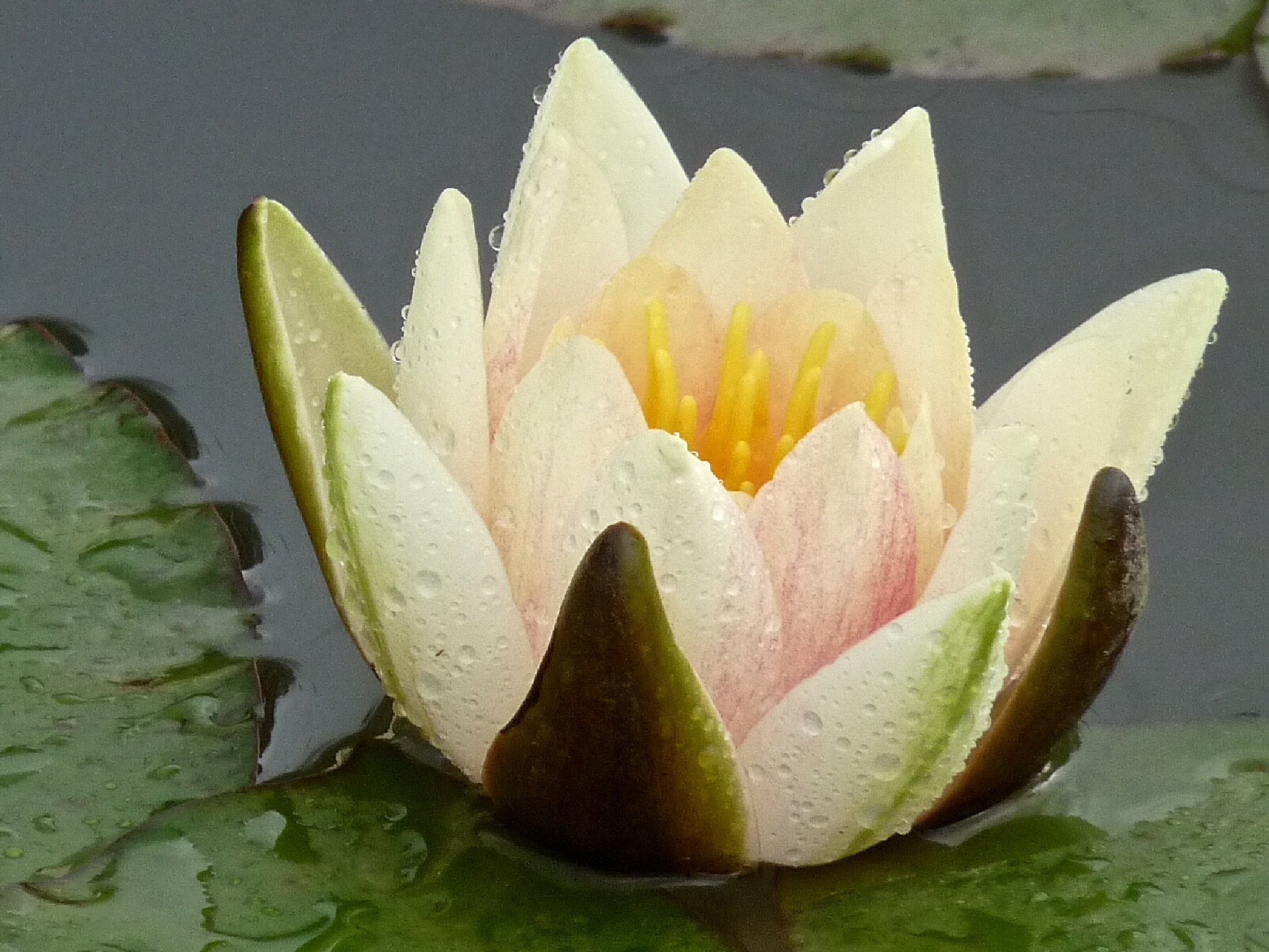 WATER LILY  by mixxy