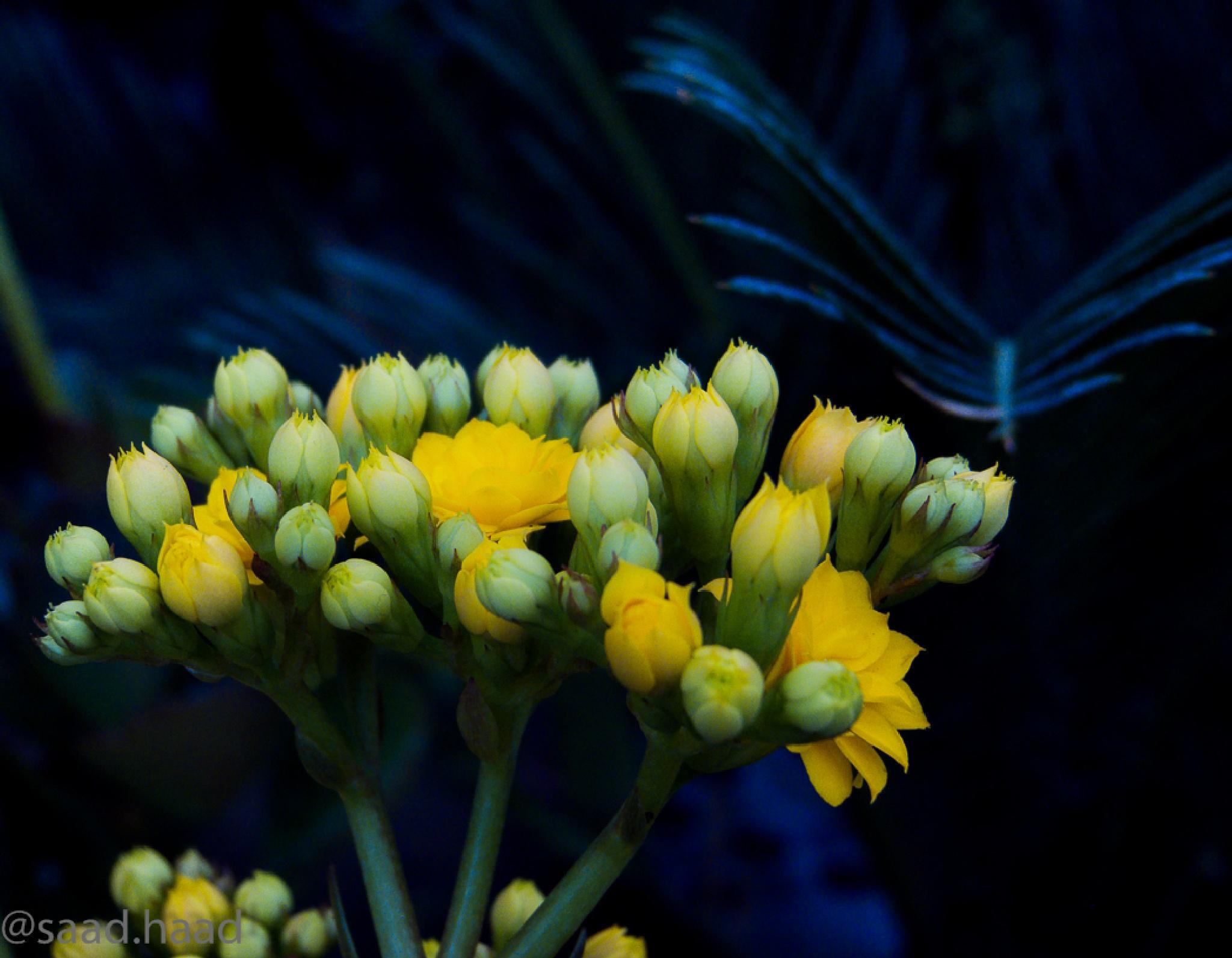 flowers... by saadhaadrifai