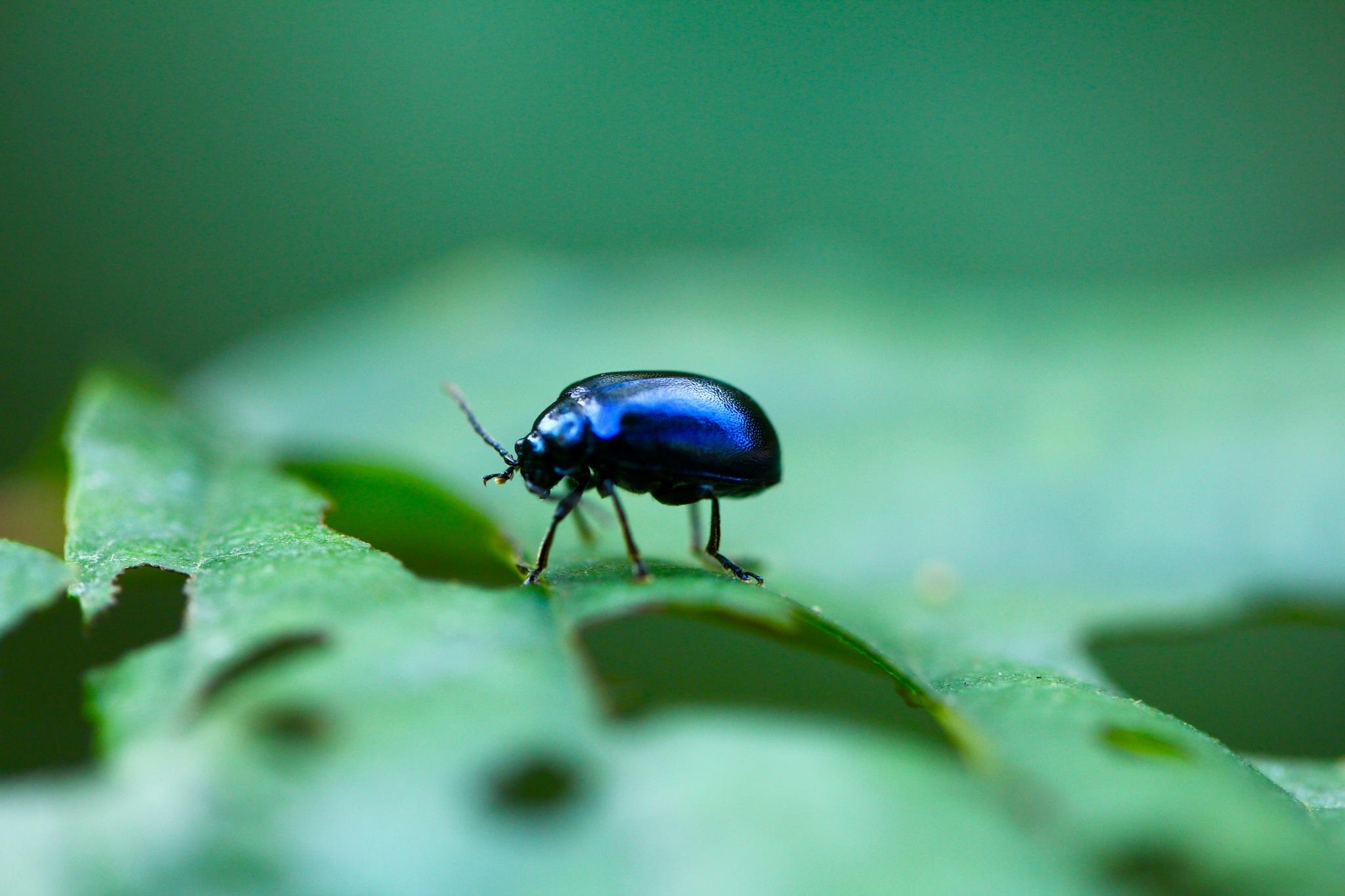 Beetle by SofiesFoto