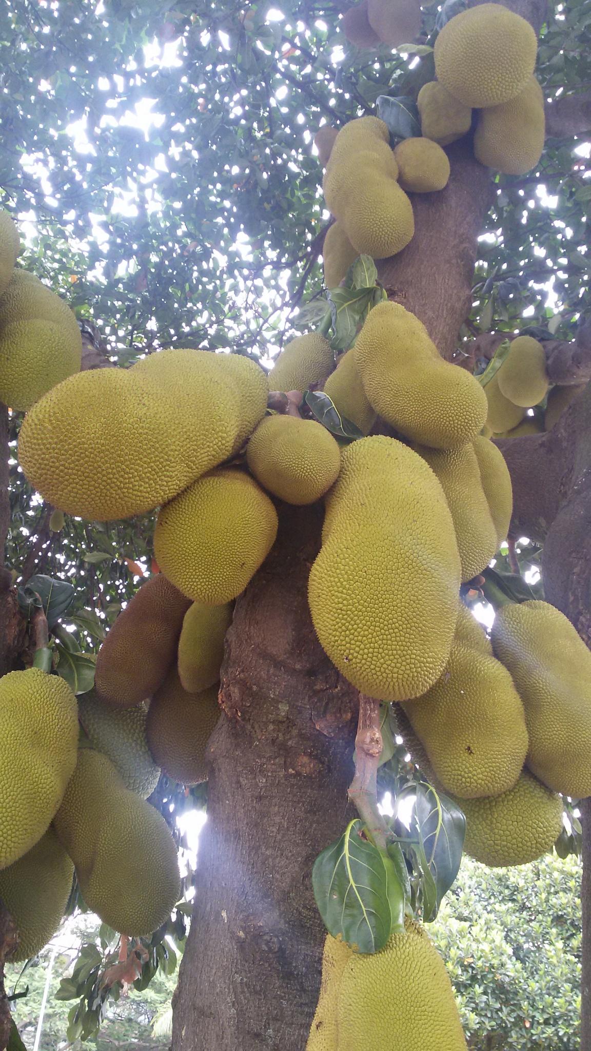 Árvore Jaqueira com frutos by Ana Rebelo
