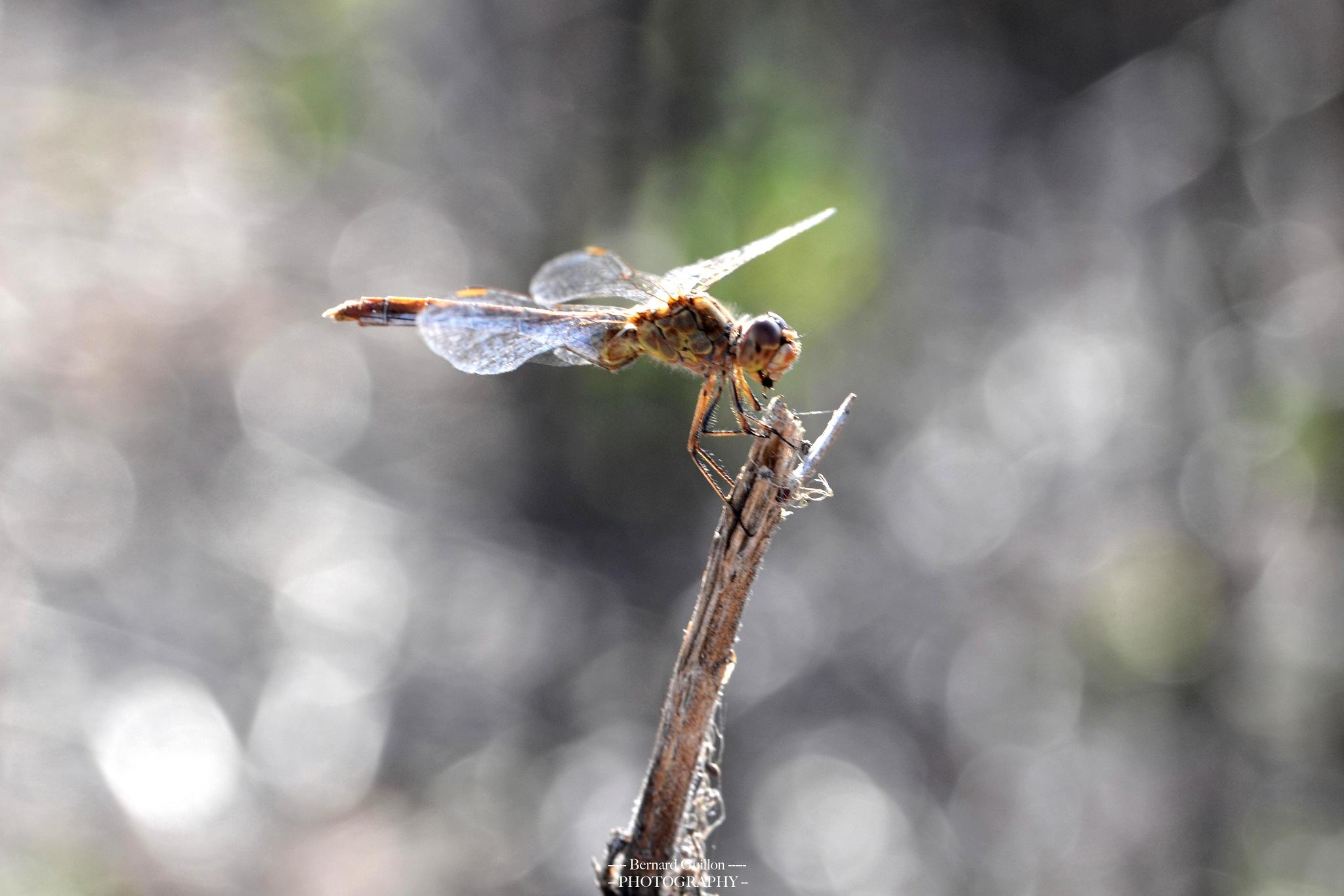 A dragonfly by Bernard Guillon