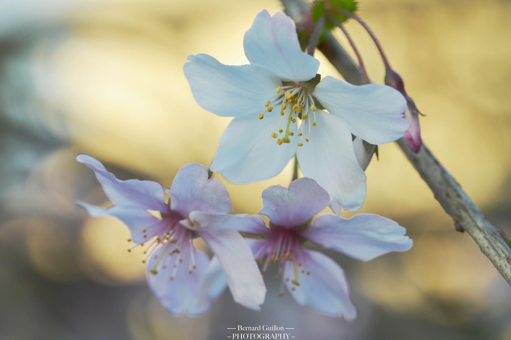 Soft beauty of spring by Bernard Guillon