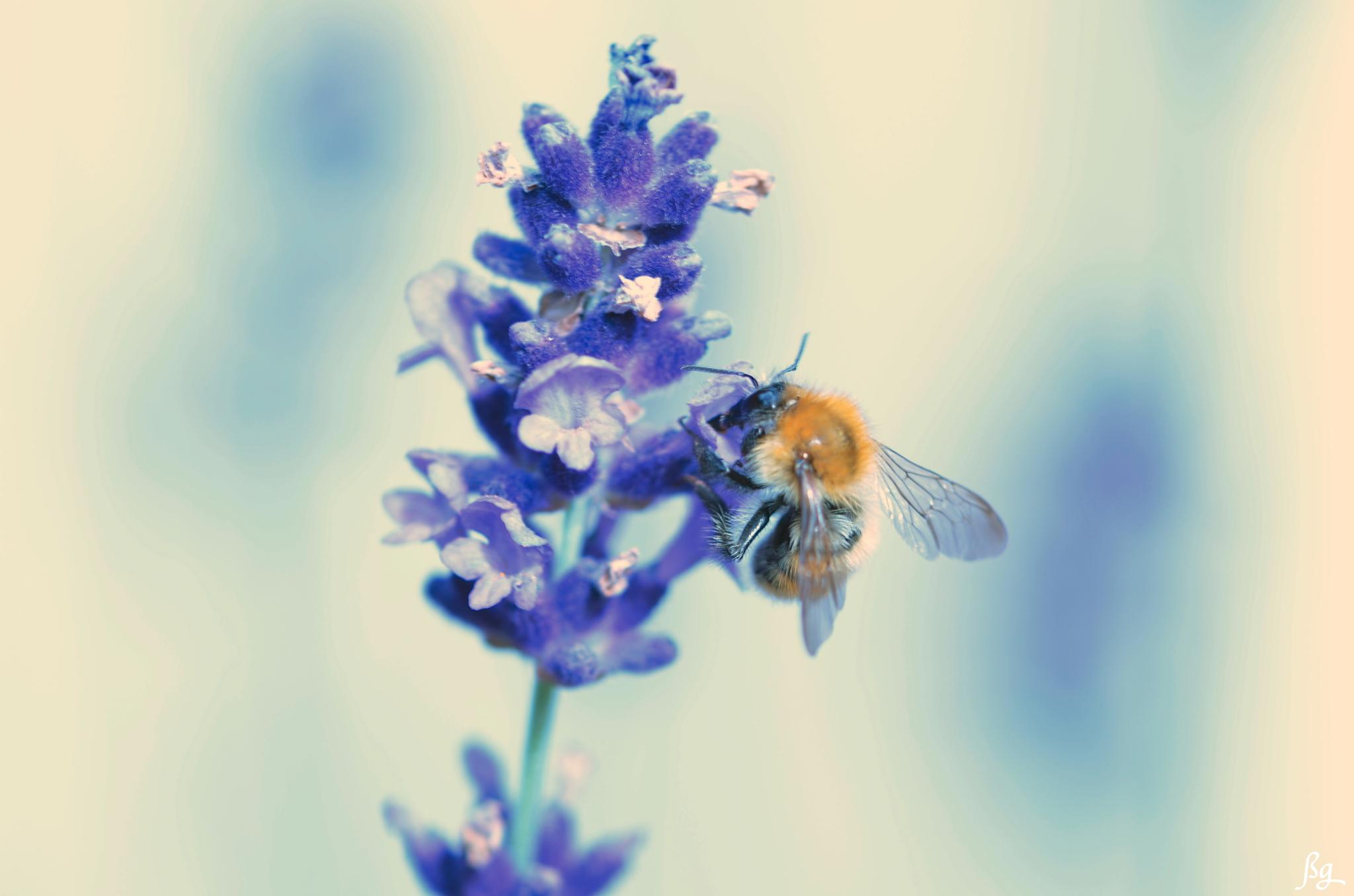 A bee on lavender by Bernard Guillon