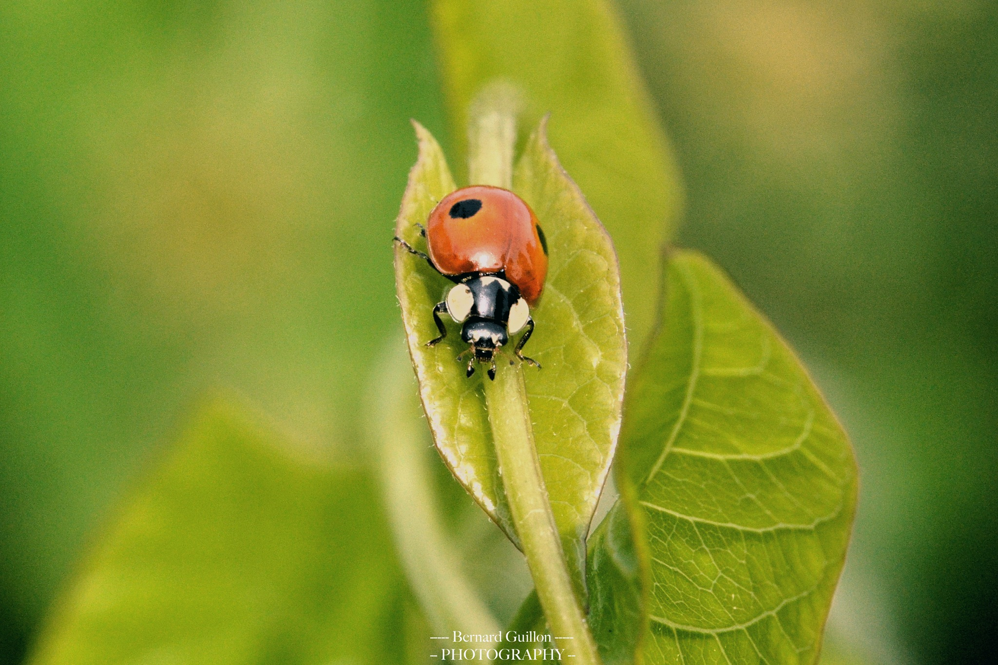 red and black Ladybird by Bernard Guillon