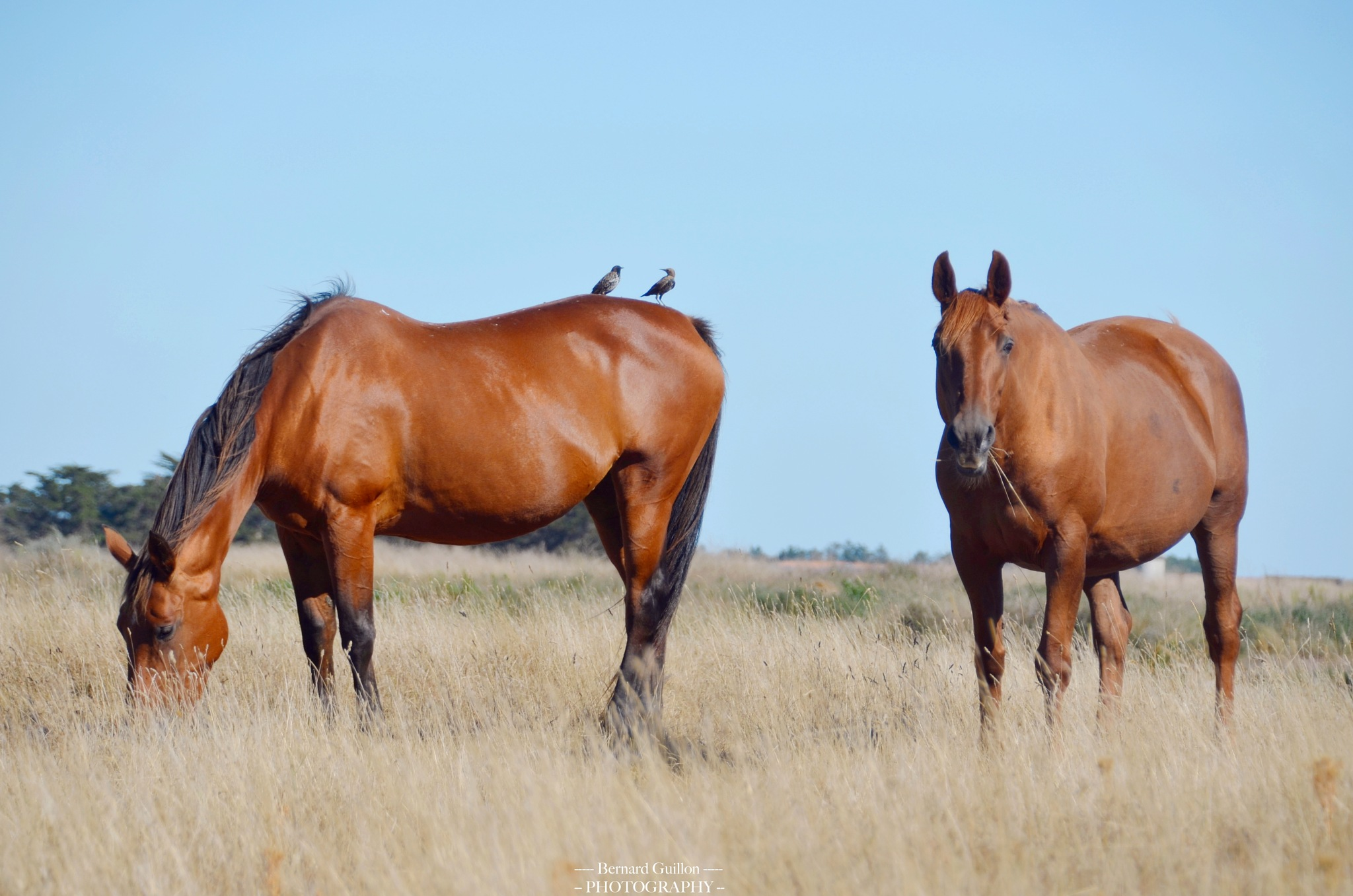 Horses and birds together by Bernard Guillon