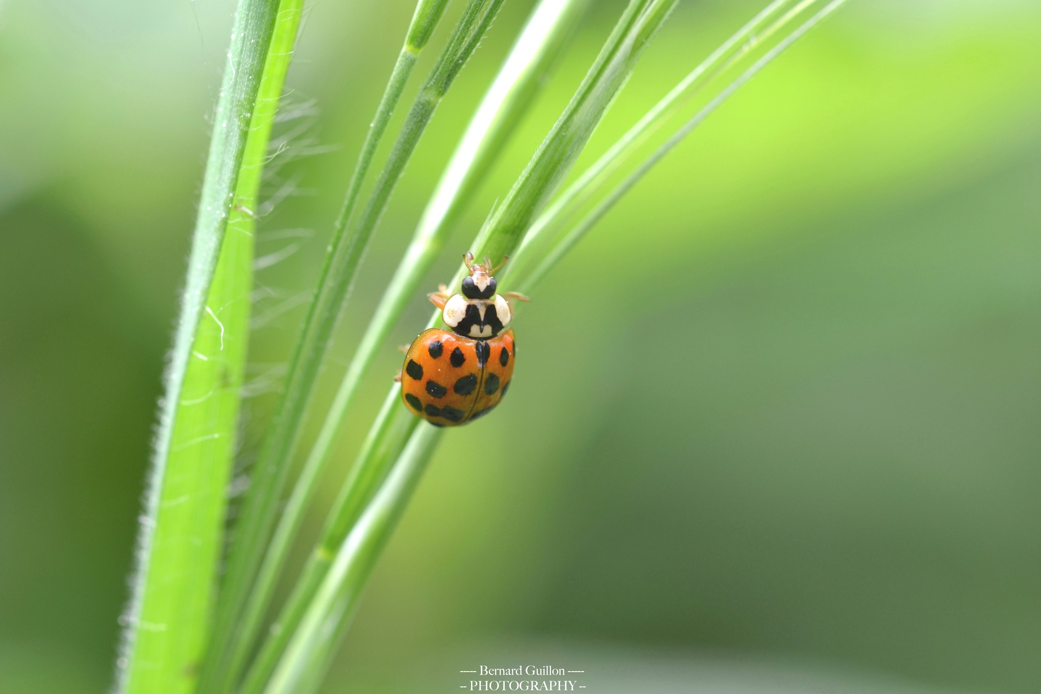 Red ladybird  by Bernard Guillon