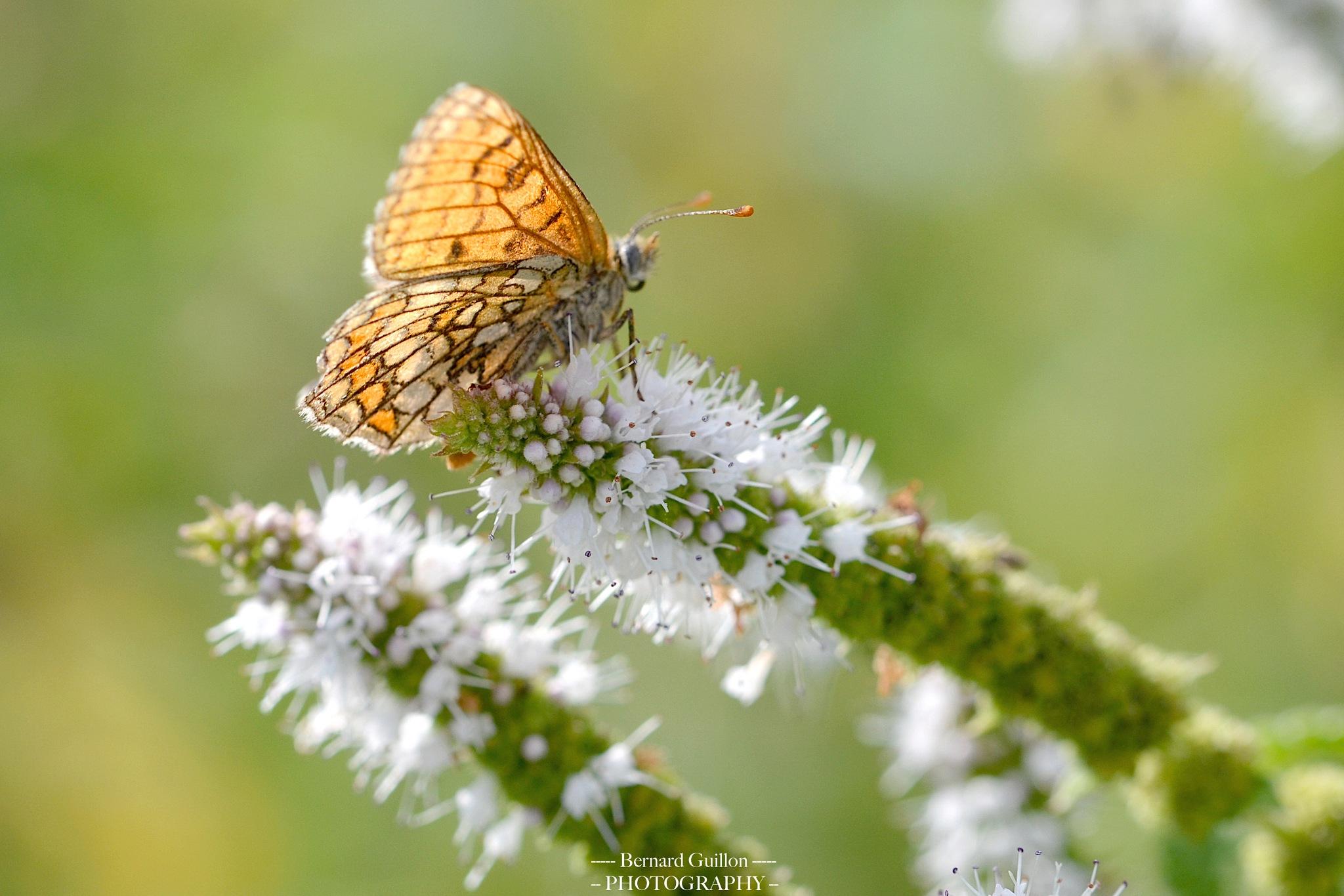 A butterfly at sunset by Bernard Guillon