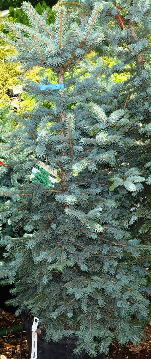 Evergreen Trees by RayAustin