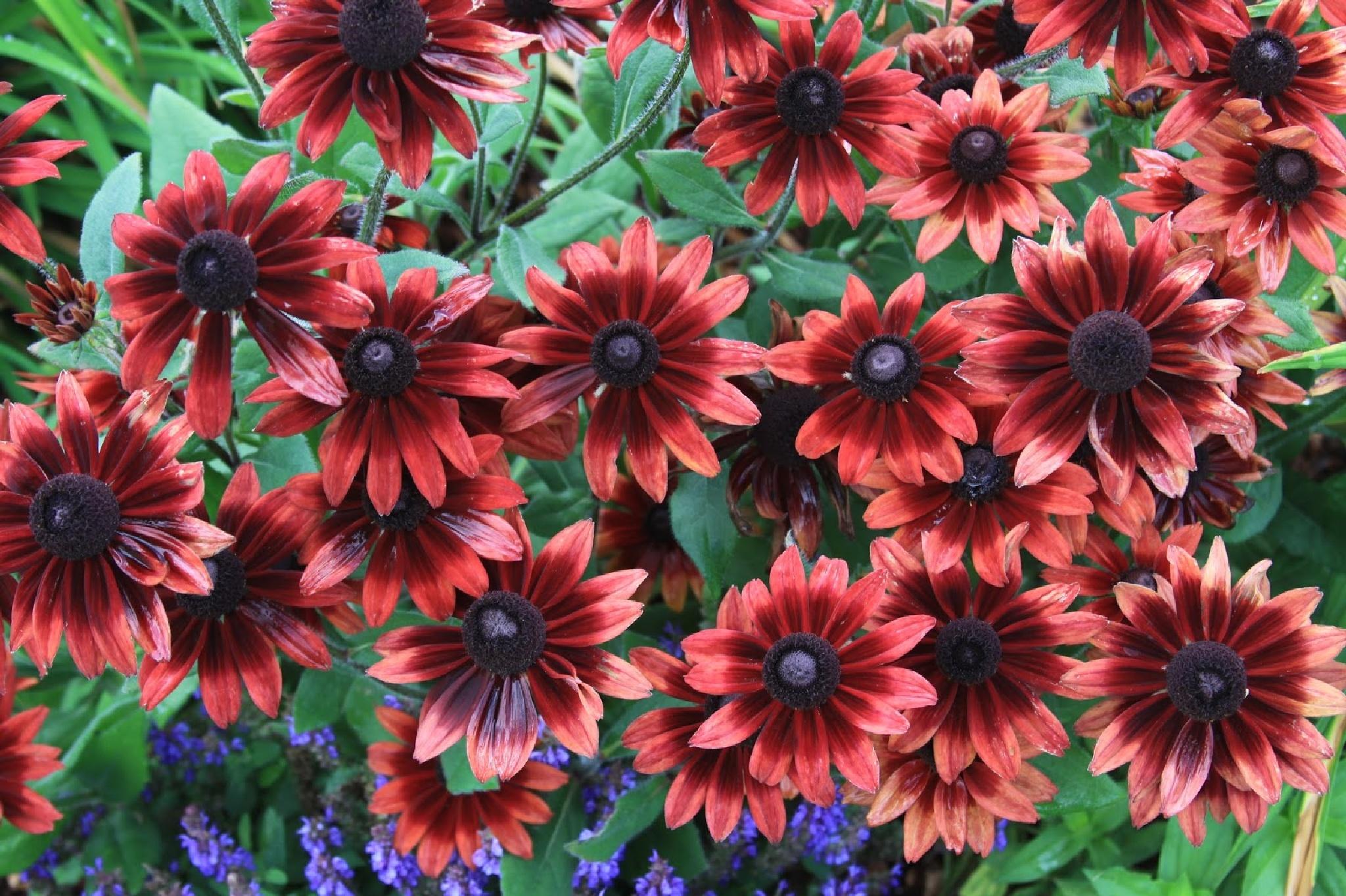 Buy Beautiful Cherry Brandy Black-Eyed Susan Perennials by RayAustin