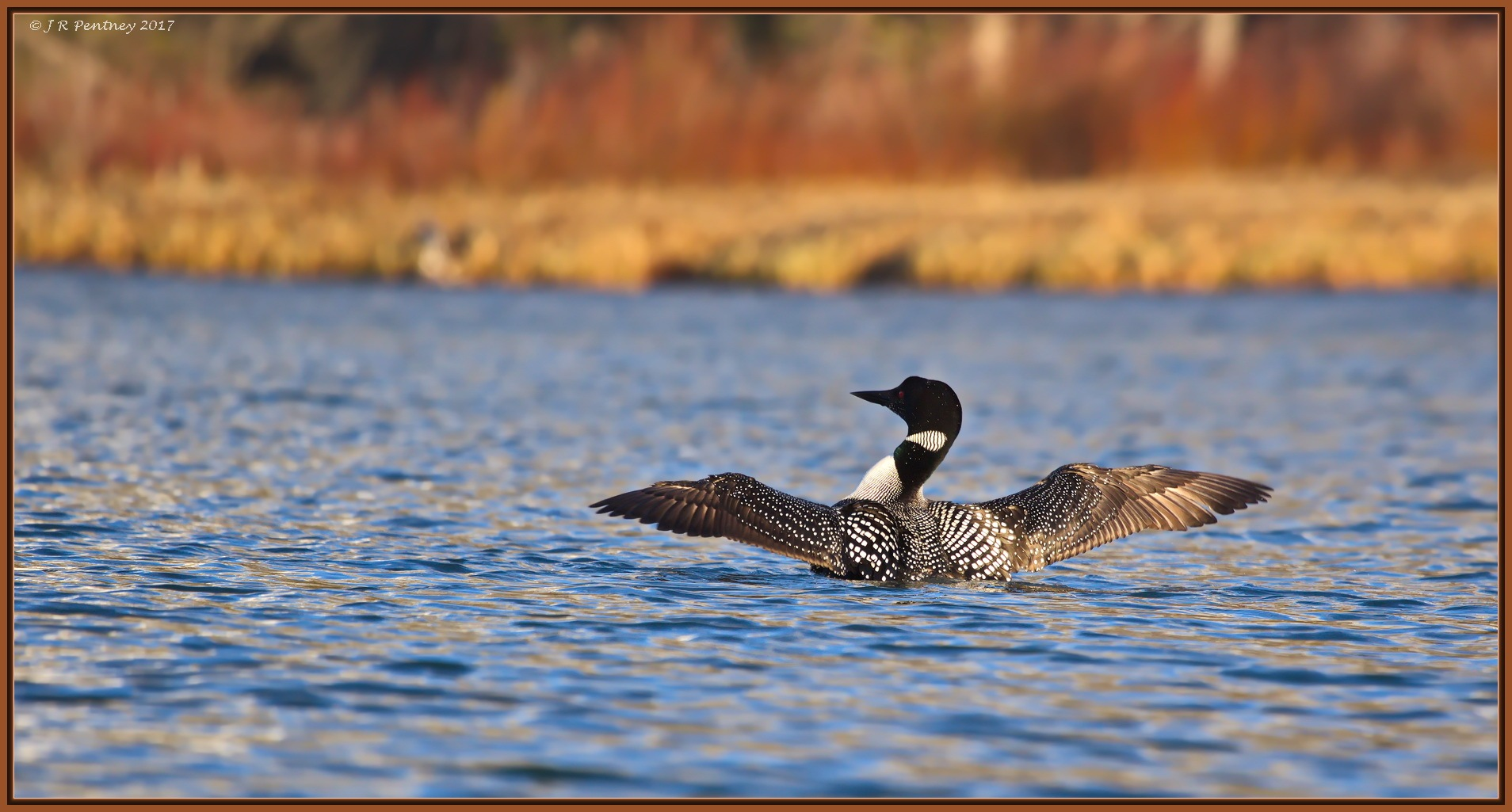 Common Loon by CrzyCnuk