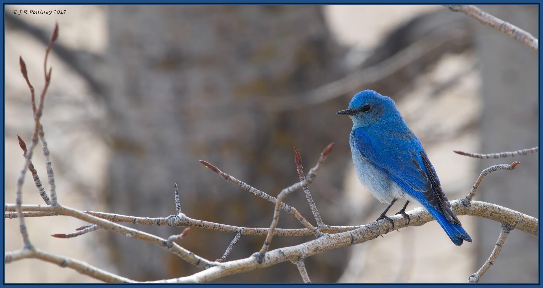 Mountain Bluebird by CrzyCnuk