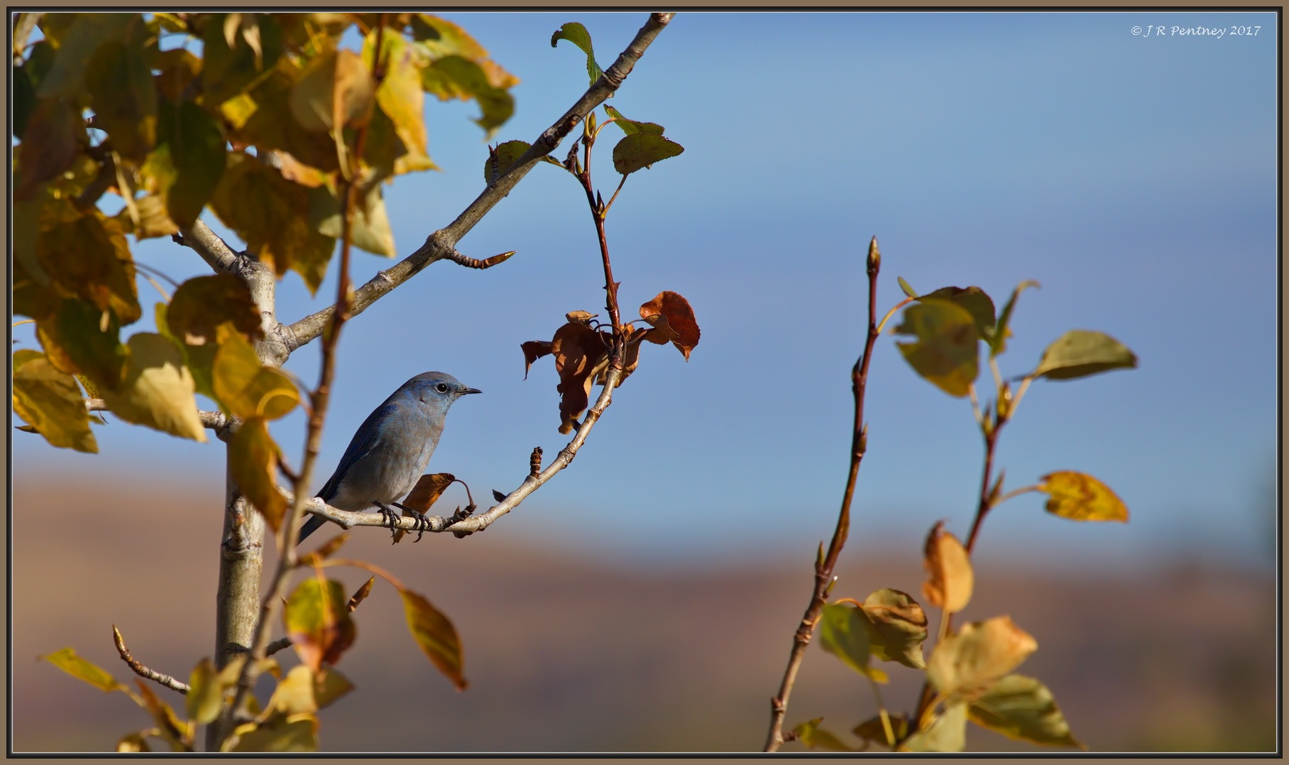 Mountain Bluebird in Fall foliage by CrzyCnuk