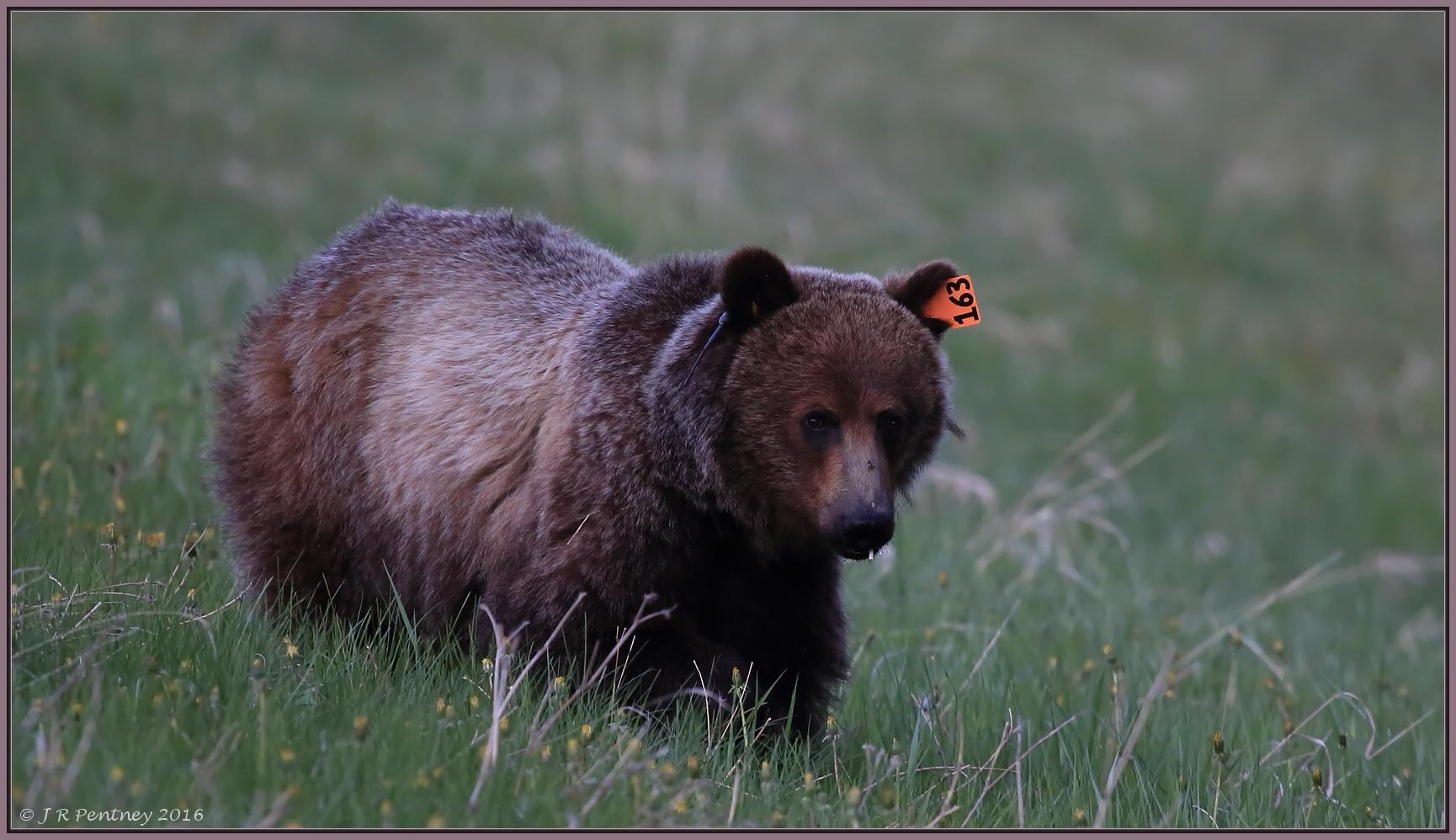 Say hello to Bear 163 by CrzyCnuk