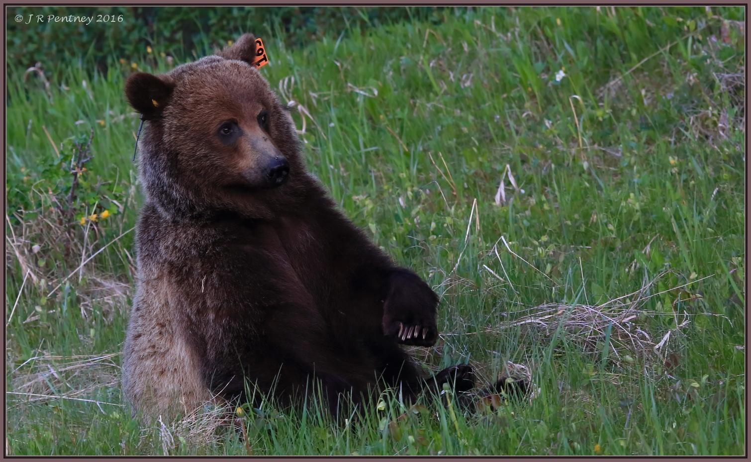 Photo in Animal #grizzlybear #bear #kananaskis #alberta #canada #canon #wildlife #nature