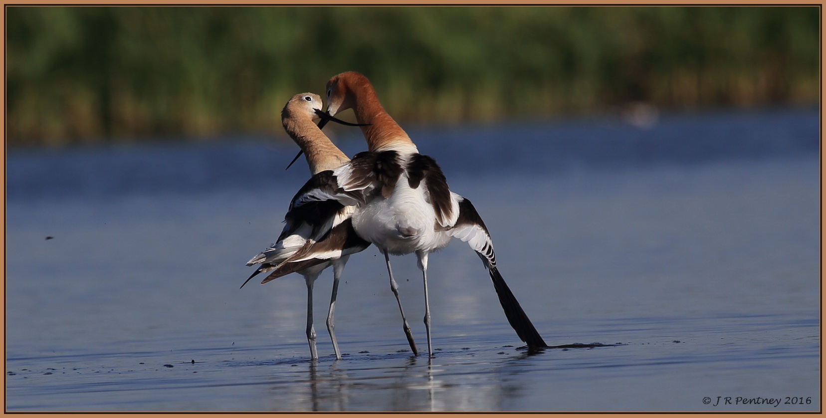 Part 4 of the American Avocet Mating series - Always kisses after by CrzyCnuk