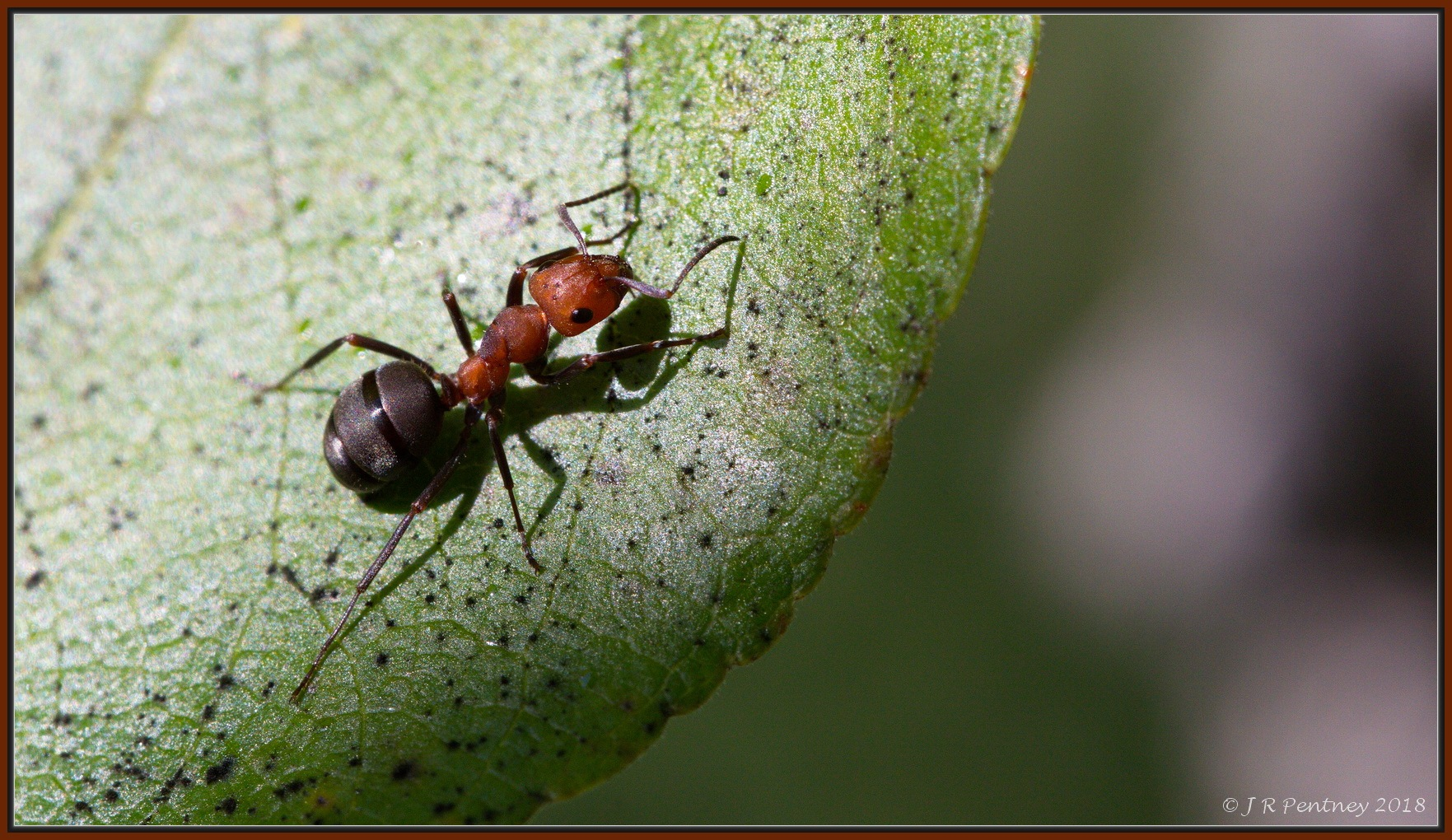 Western Thatching Ant by CrzyCnuk