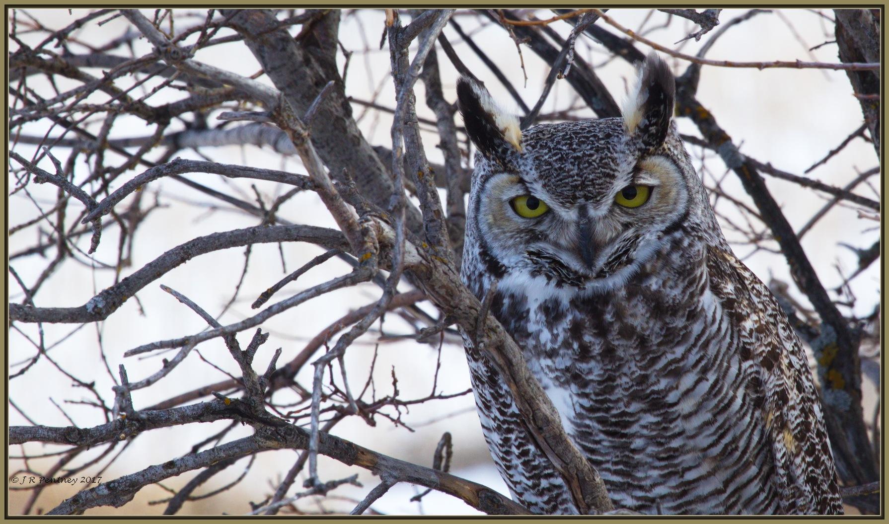Great horned Owl by CrzyCnuk