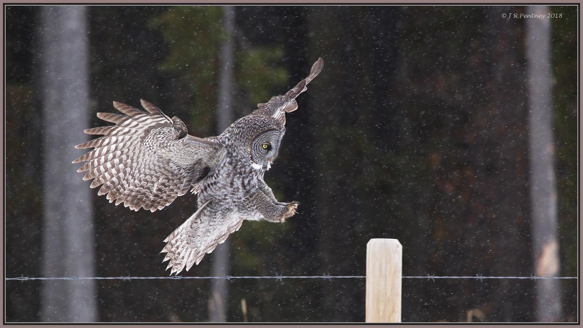Photo in Nature #owl #great grey owl #olws #alberta #canada #wildlife #nature #birds of prey #raptors #birds in flight