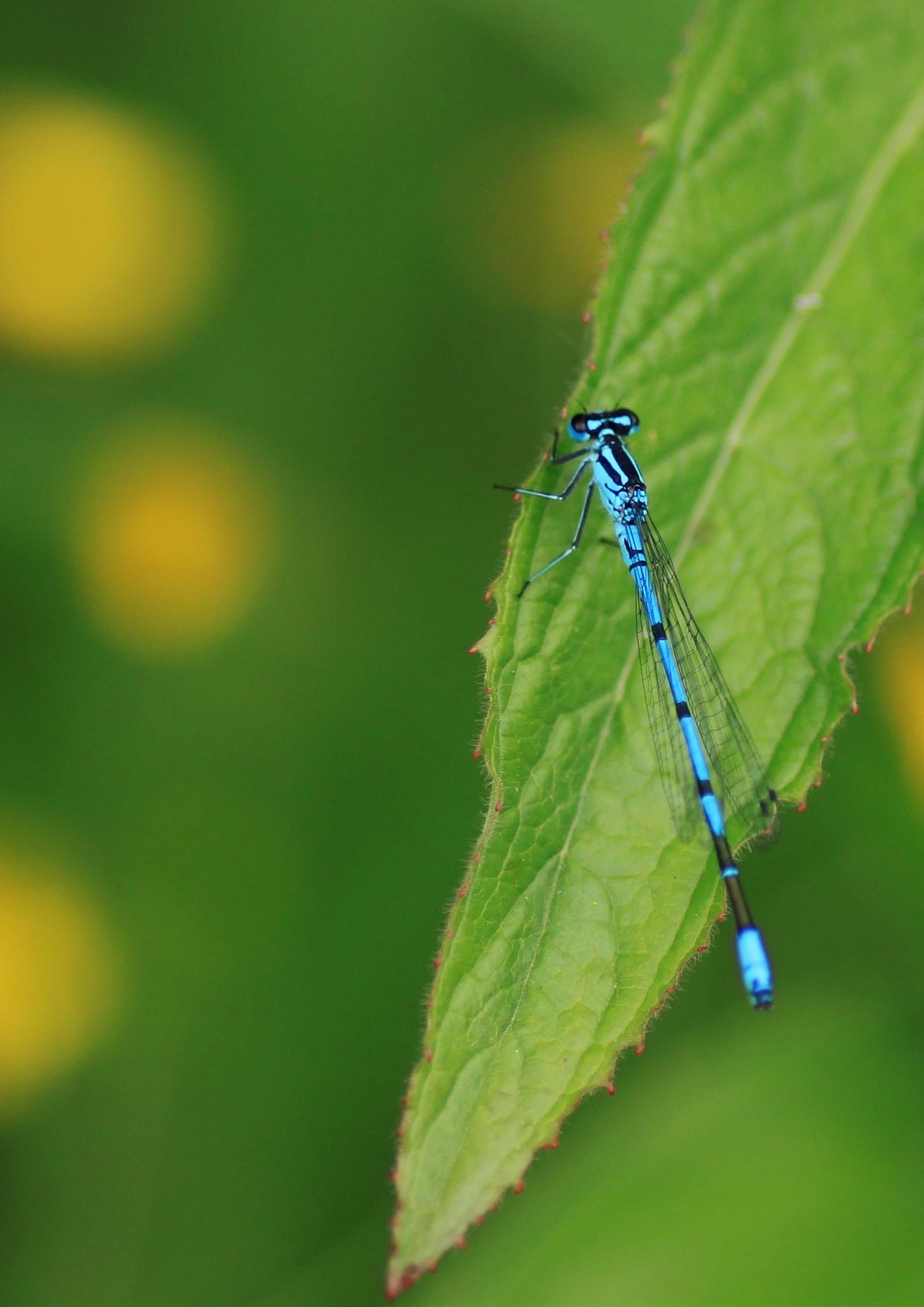 dradonfly on leave by Tineke Deuntje