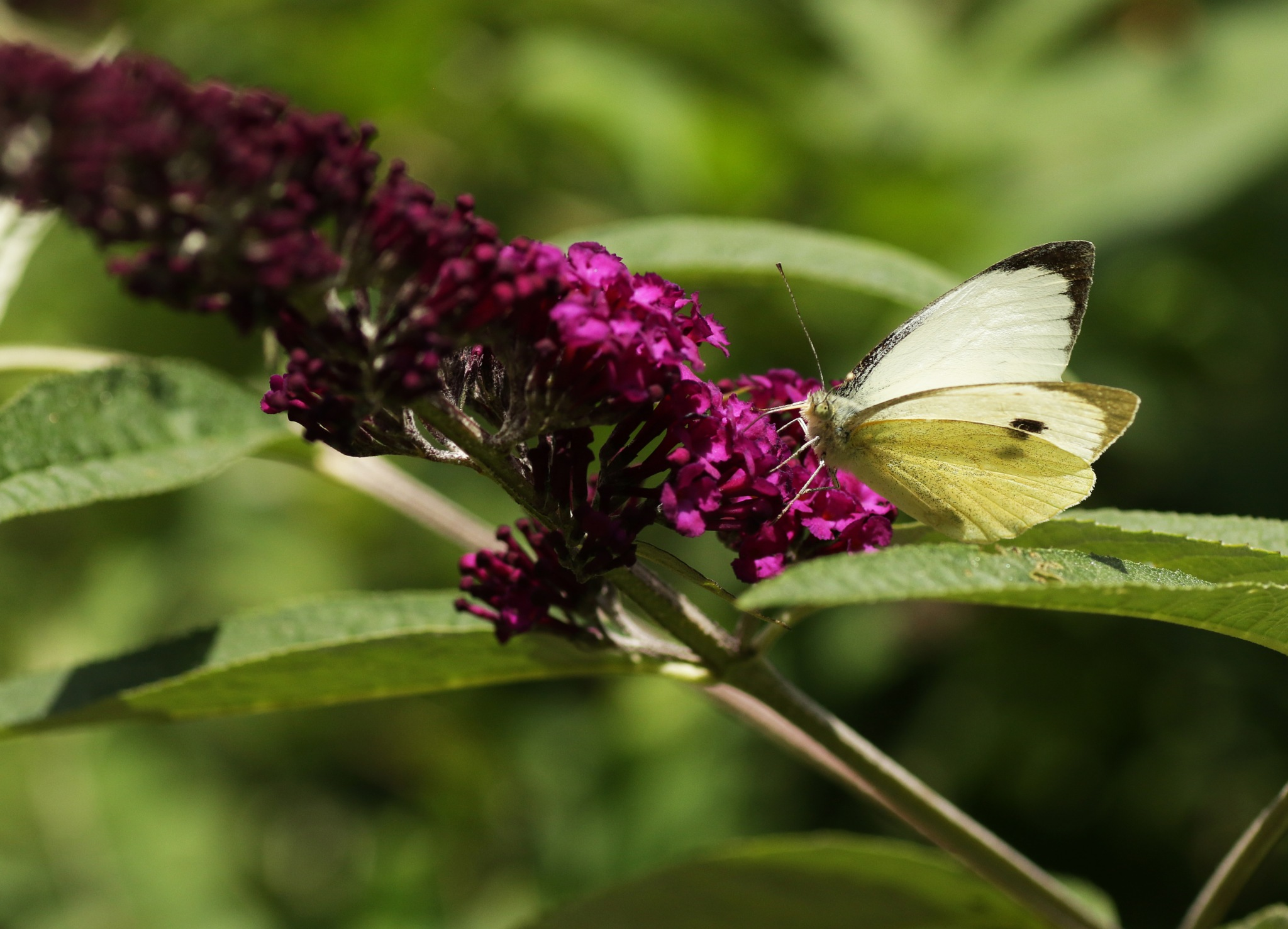 large cabbage white butterfly by Tineke Deuntje