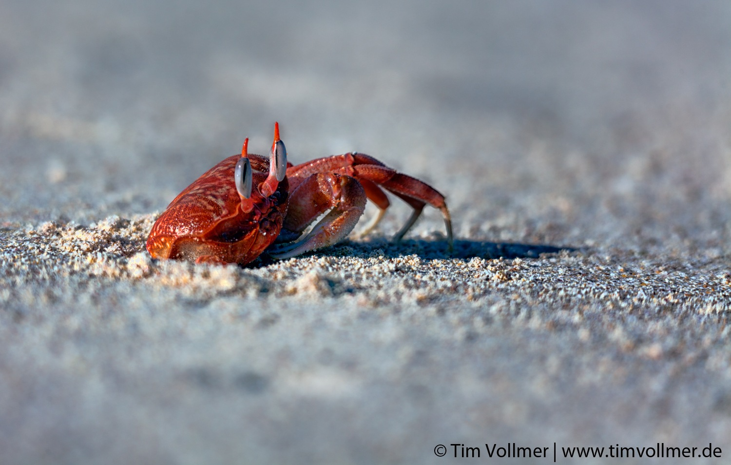 Ghost crab in Galapagos by TimVollmerPhotography