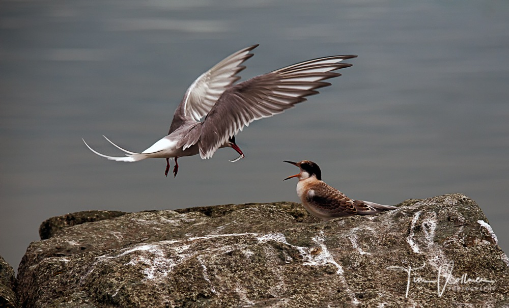 Arctic Tern is bringing fish to her child :-) by Tim Vollmer