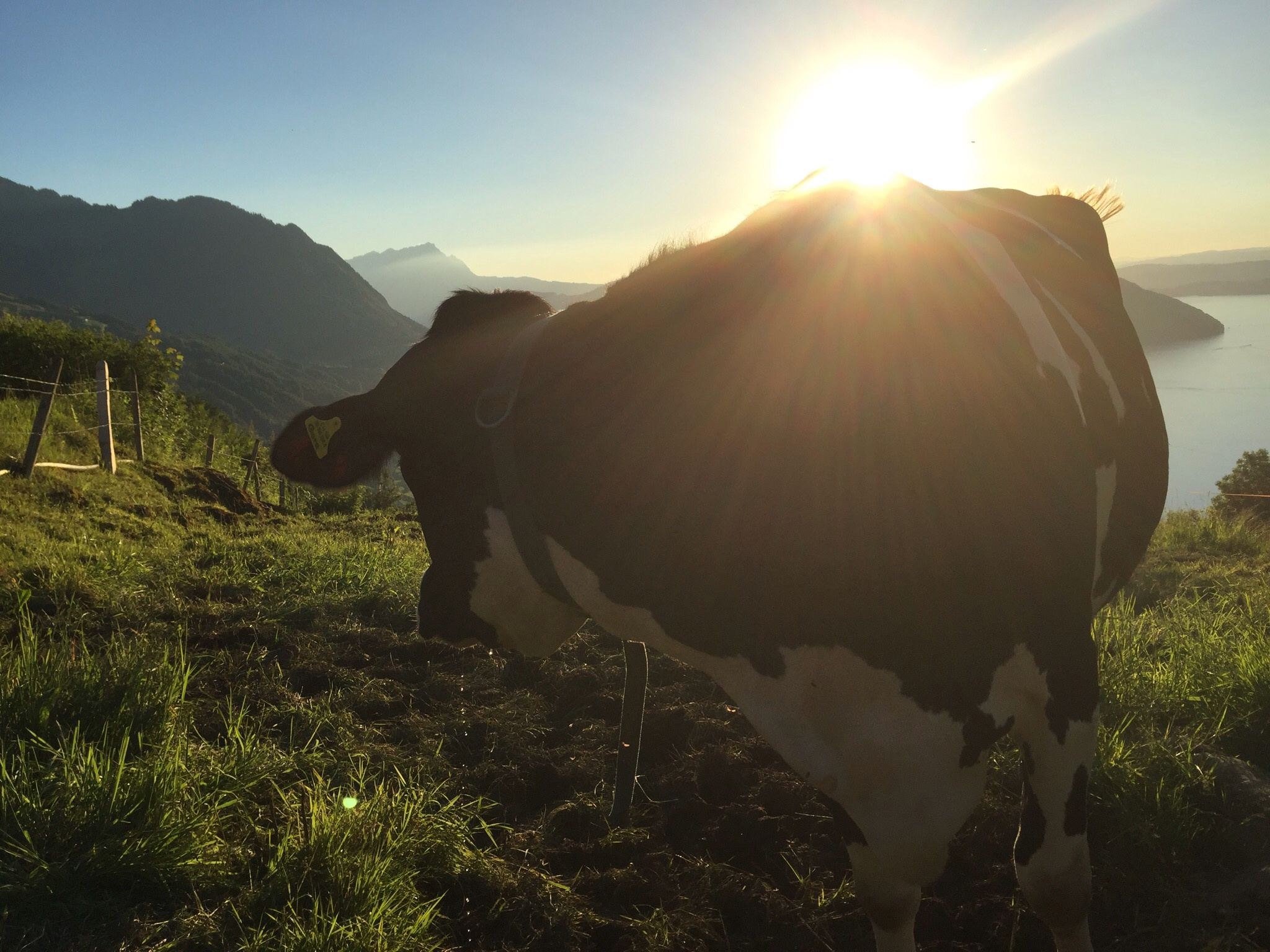 Cow at sunset by Douwe Hoekstra