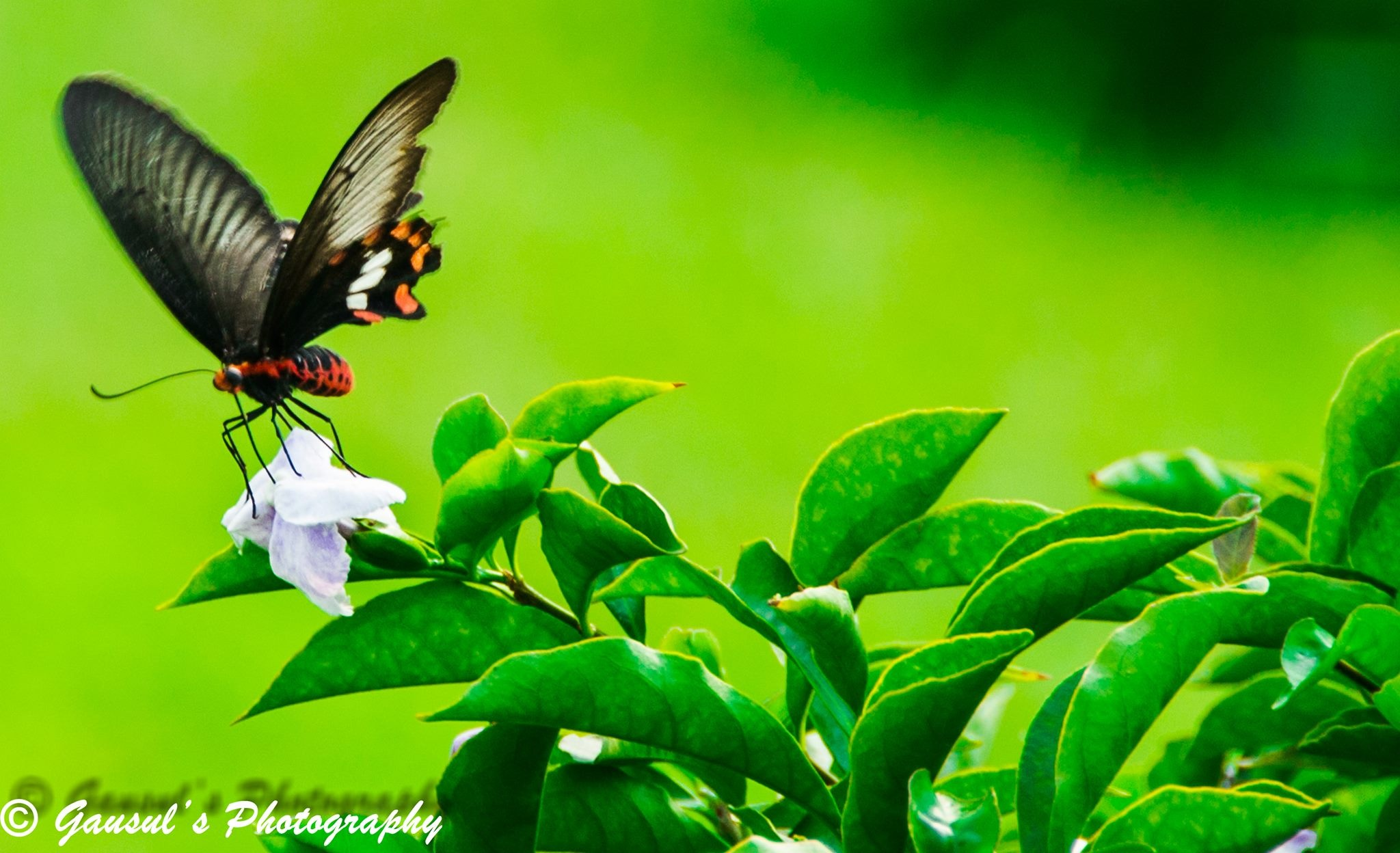 Butterfly on the Flower by Gausul Azam