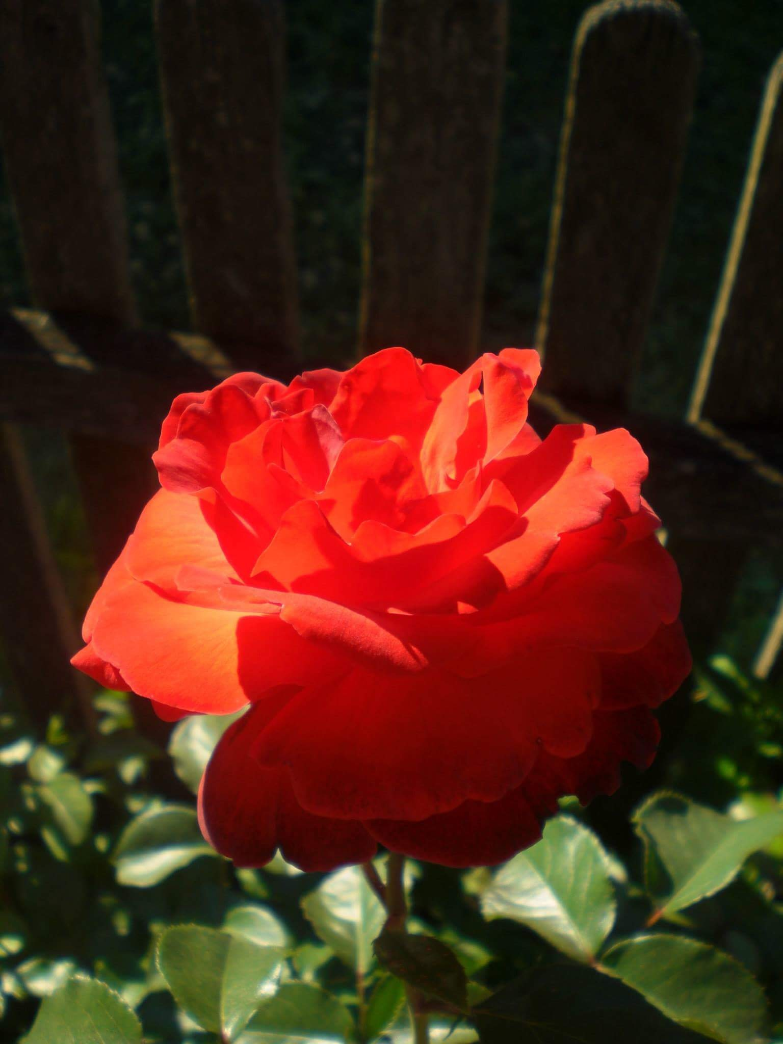 the special red rose from grandma's garden by Iri Rusu