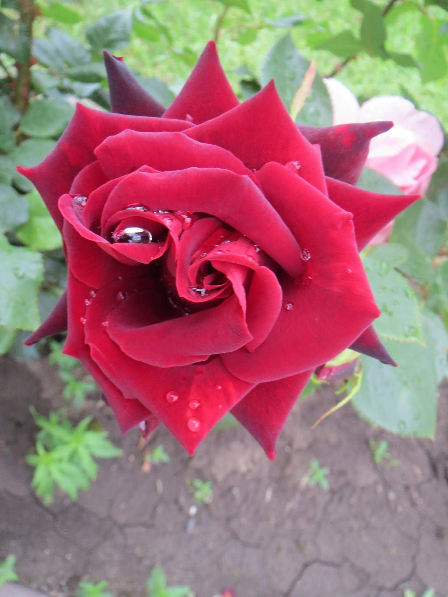 some pictures...must be original...roses are to beautiful to be changed ! by Iri Rusu