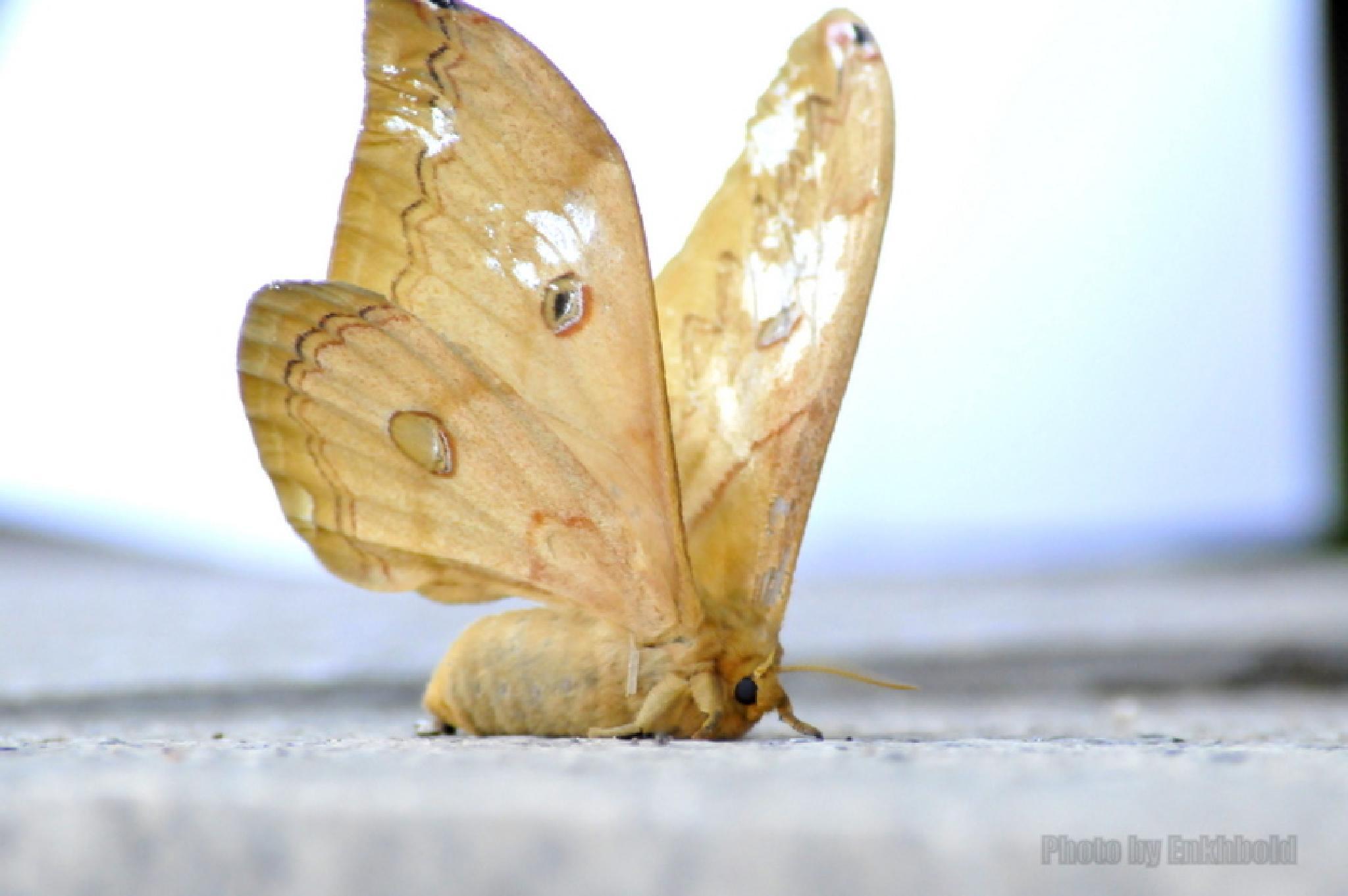 Huge butterfly by Eboseiko