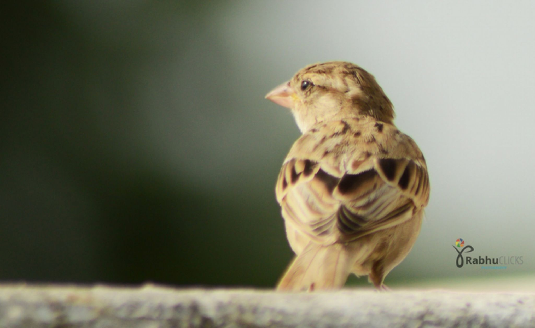 Sparrow by prabhuviswa
