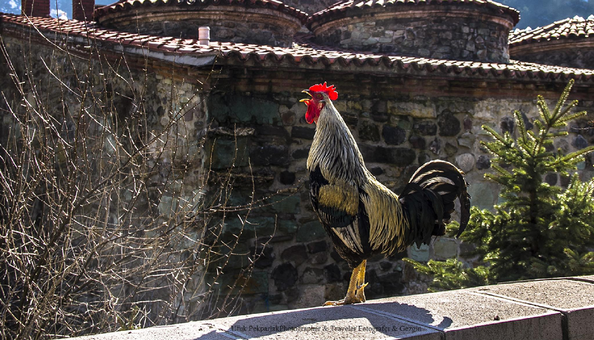 Photo in Animal #rooster #cock #animal