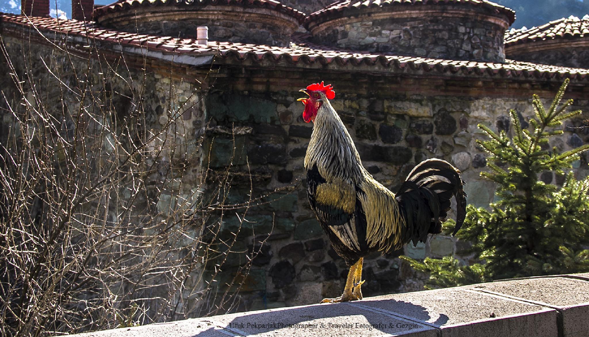 Rooster by ufukpekparlak